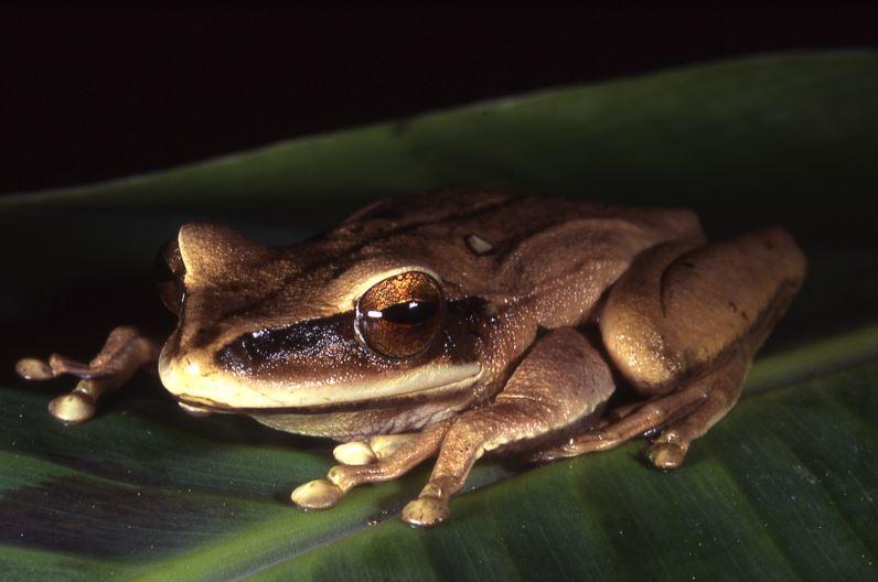 Van 501 especies: mortal enfermedad en anfibios se globaliza