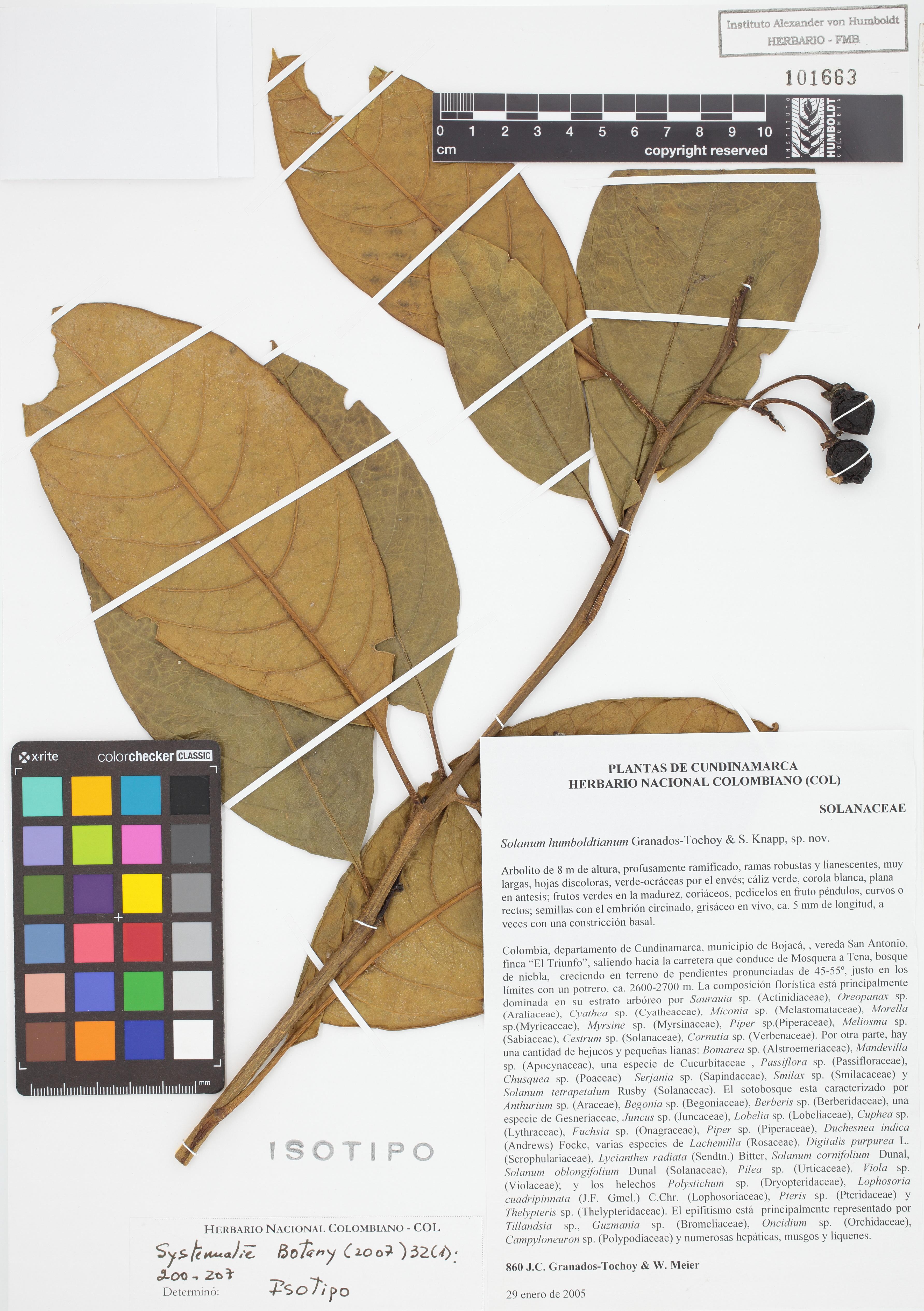Isotipo de <em>Solanum humboldtianum</em>, FMB-101663, Fotografía por Robles A.