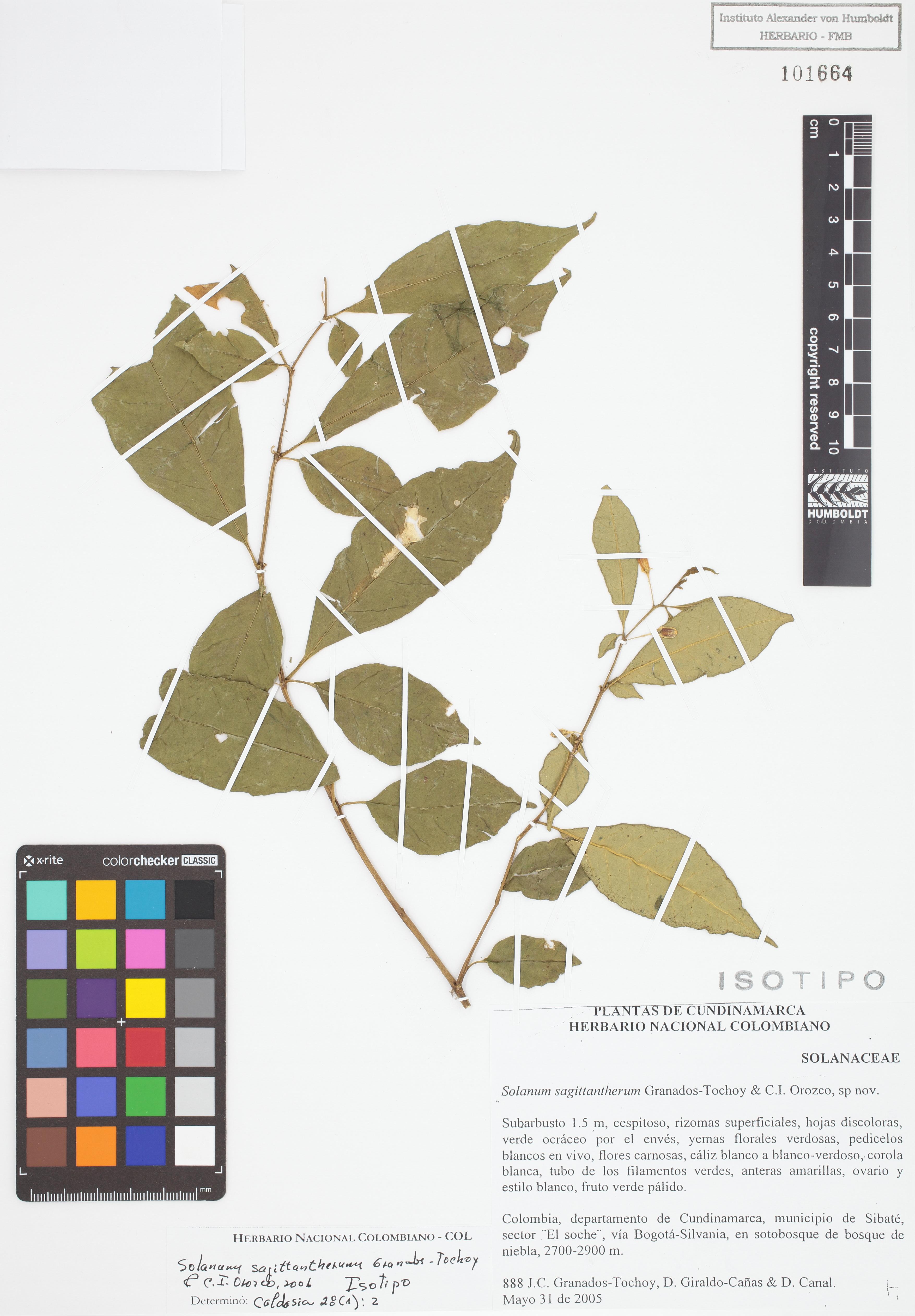 Isotipo de <em>Solanum sagittantherum</em>, FMB-101664, Fotografía por Robles A.