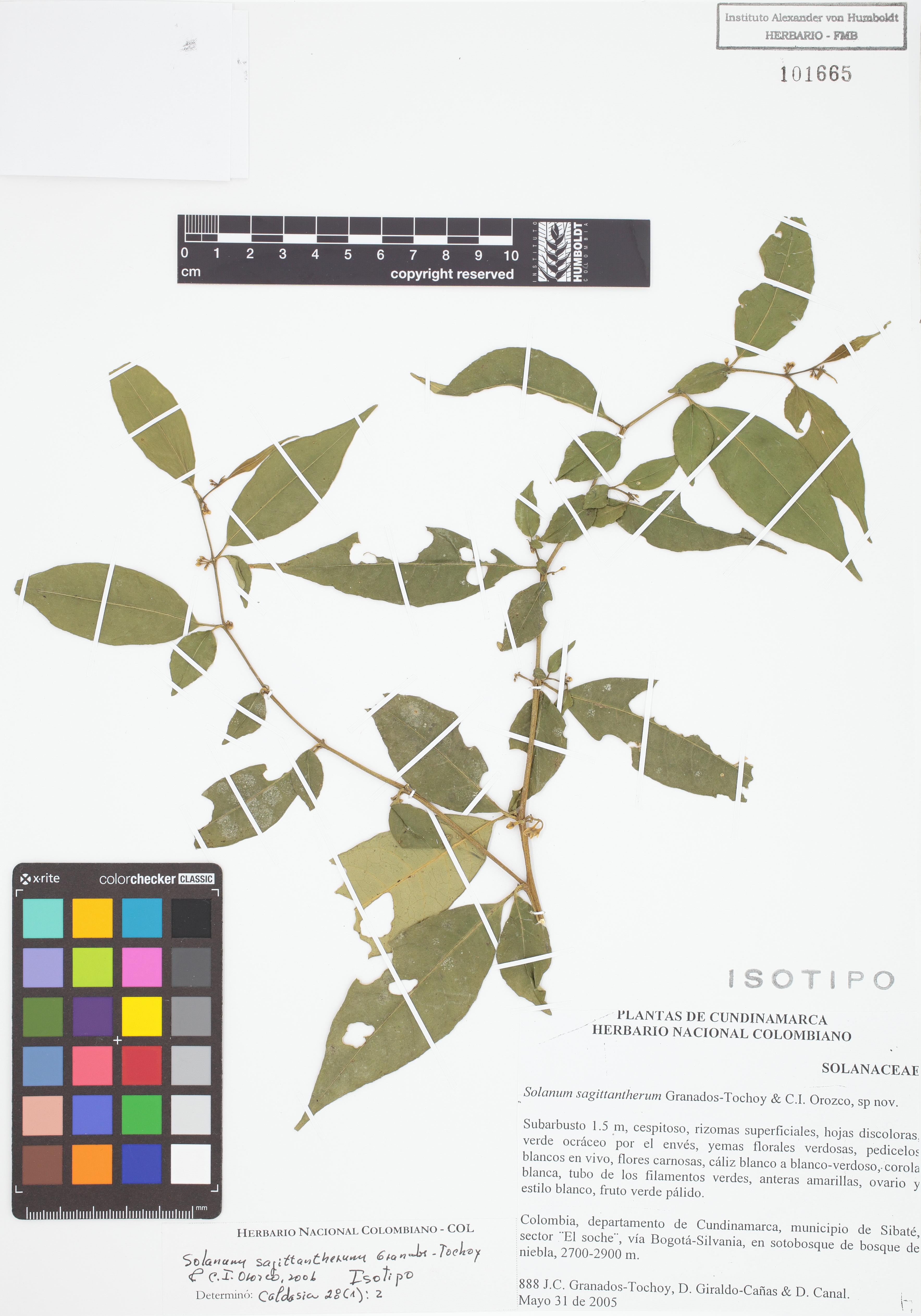 Isotipo de <em>Solanum sagittantherum</em>, FMB-101665, Fotografía por Robles A.