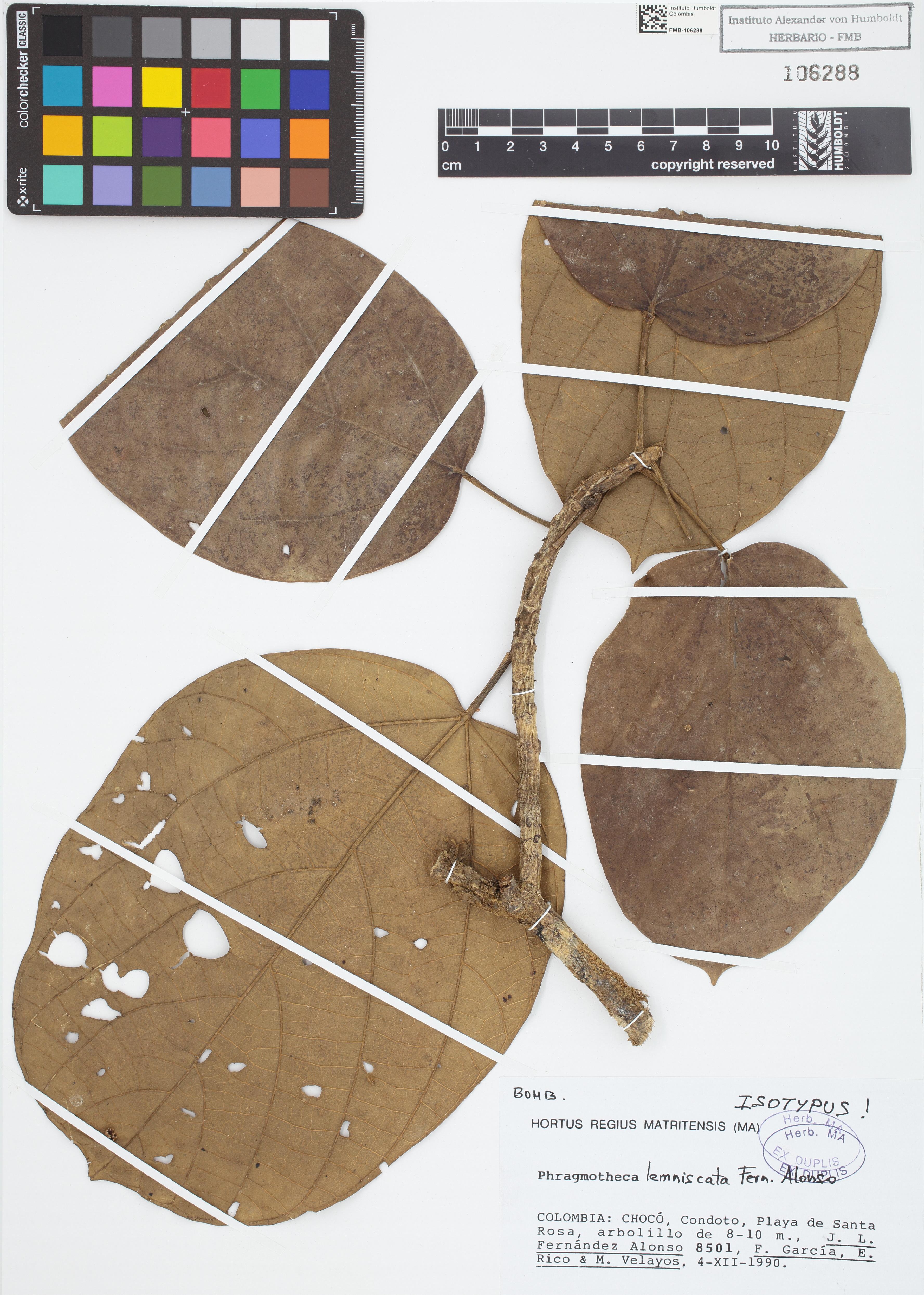 Isotipo de <em>Phragmotheca lemniscata</em>, FMB-106288, Fotografía por Robles A.