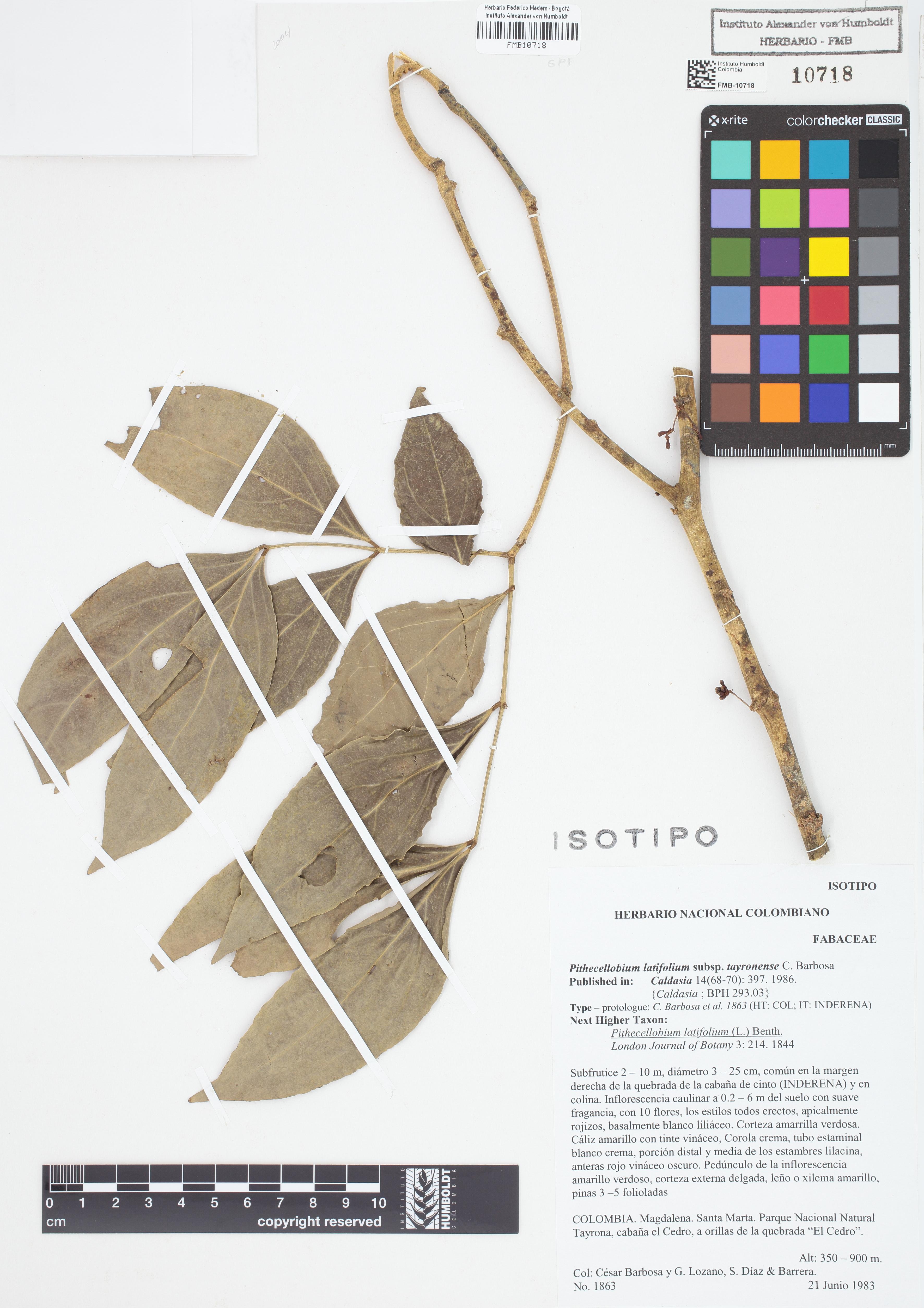 Isotipo de <em>Pithecellobium latifolium</em> subsp. <em>tayronense</em>, FMB-10718, Fotografía por Robles A.