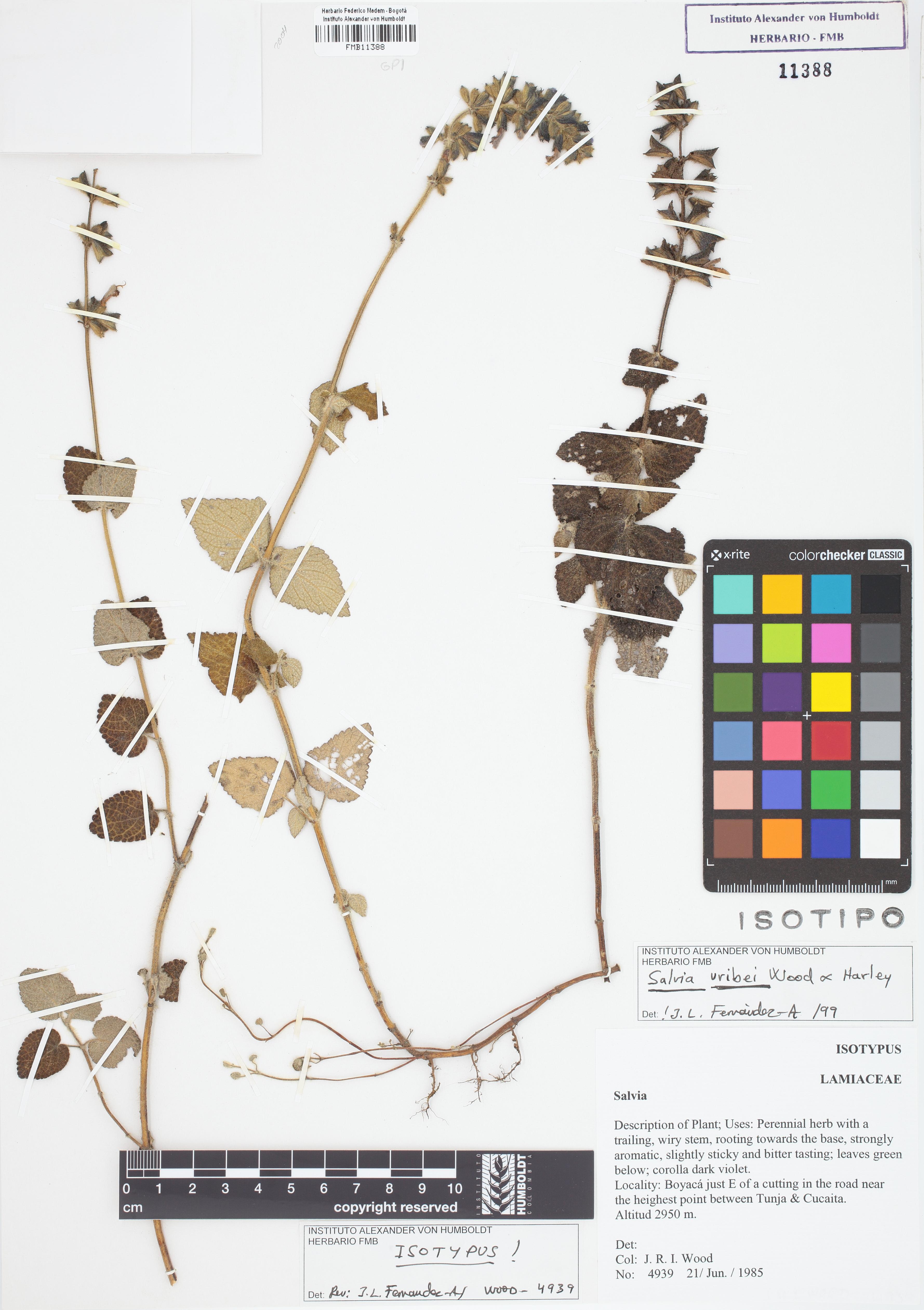 Isotipo de <em>Salvia uribei</em>, FMB-11388, Fotografía por Robles A.