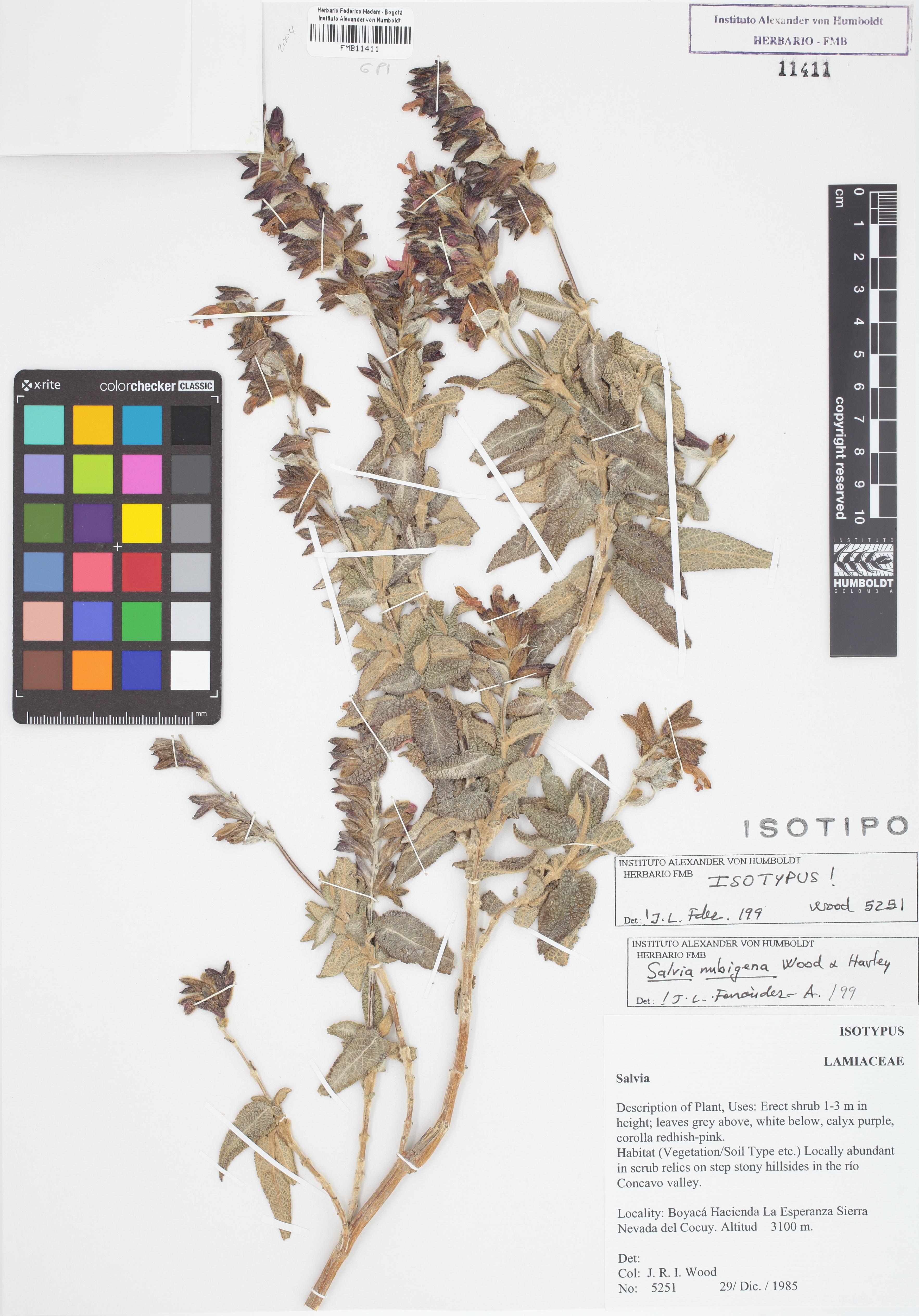 Isotipo de <em>Salvia nubigena</em>, FMB-11411, Fotografía por Robles A.