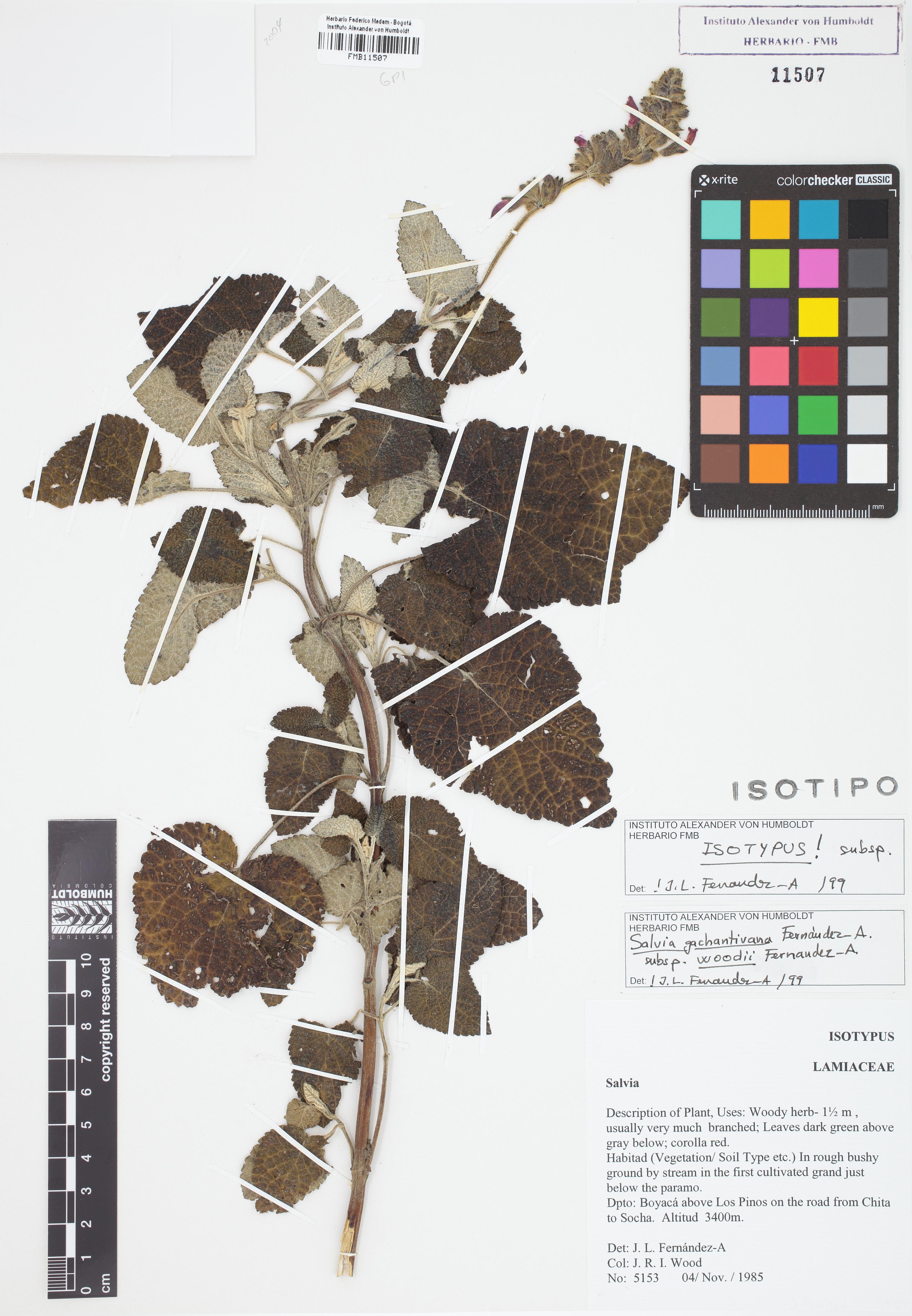 Isotipo de <em>Salvia gachantivana</em> subsp. <em>woodii</em>, FMB-11507, Fotografía por Robles A.