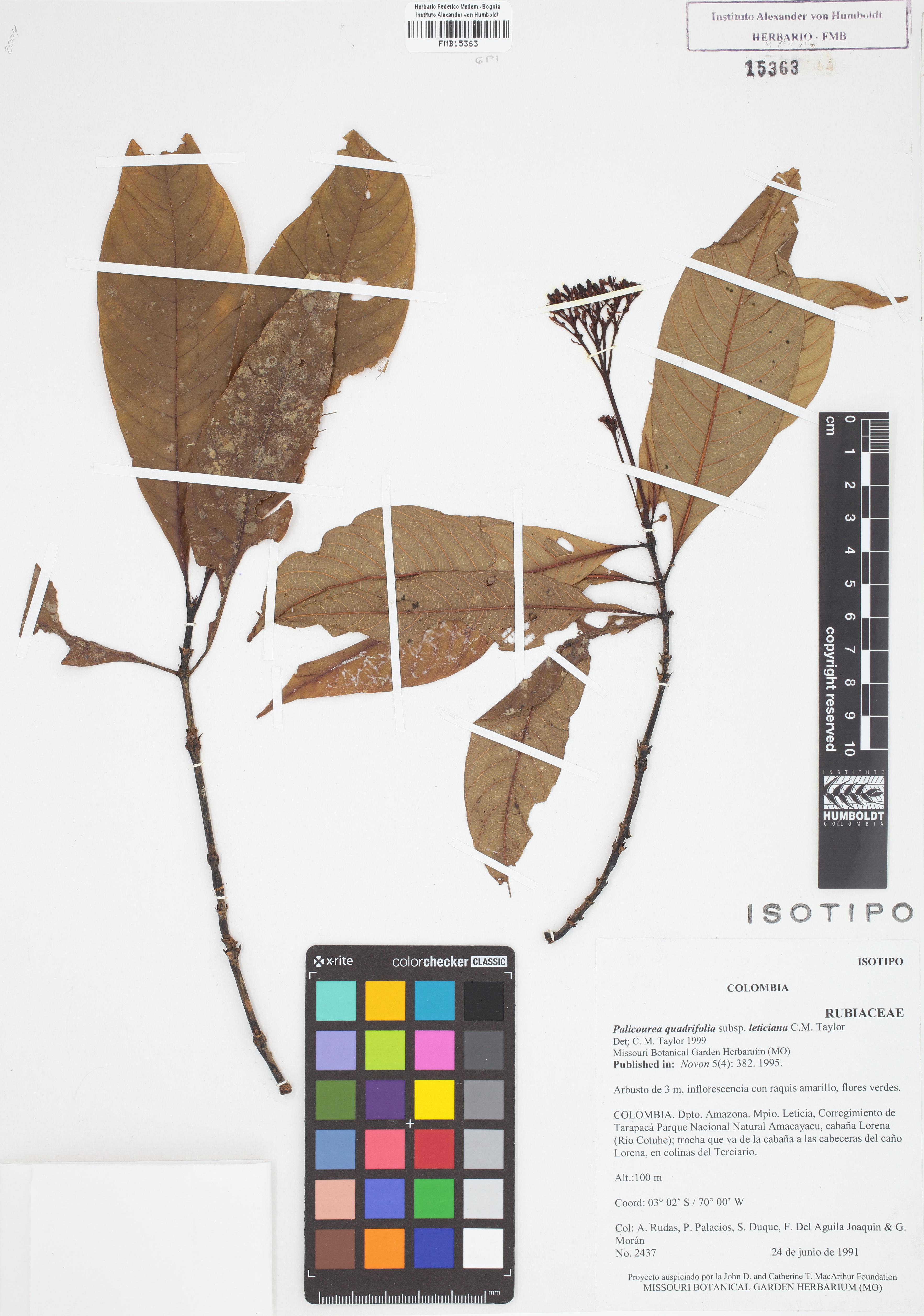 Isotipo de <em>Palicourea quadrifolia</em> subsp. <em>leticiana</em>, FMB-15363, Fotografía por Robles A.
