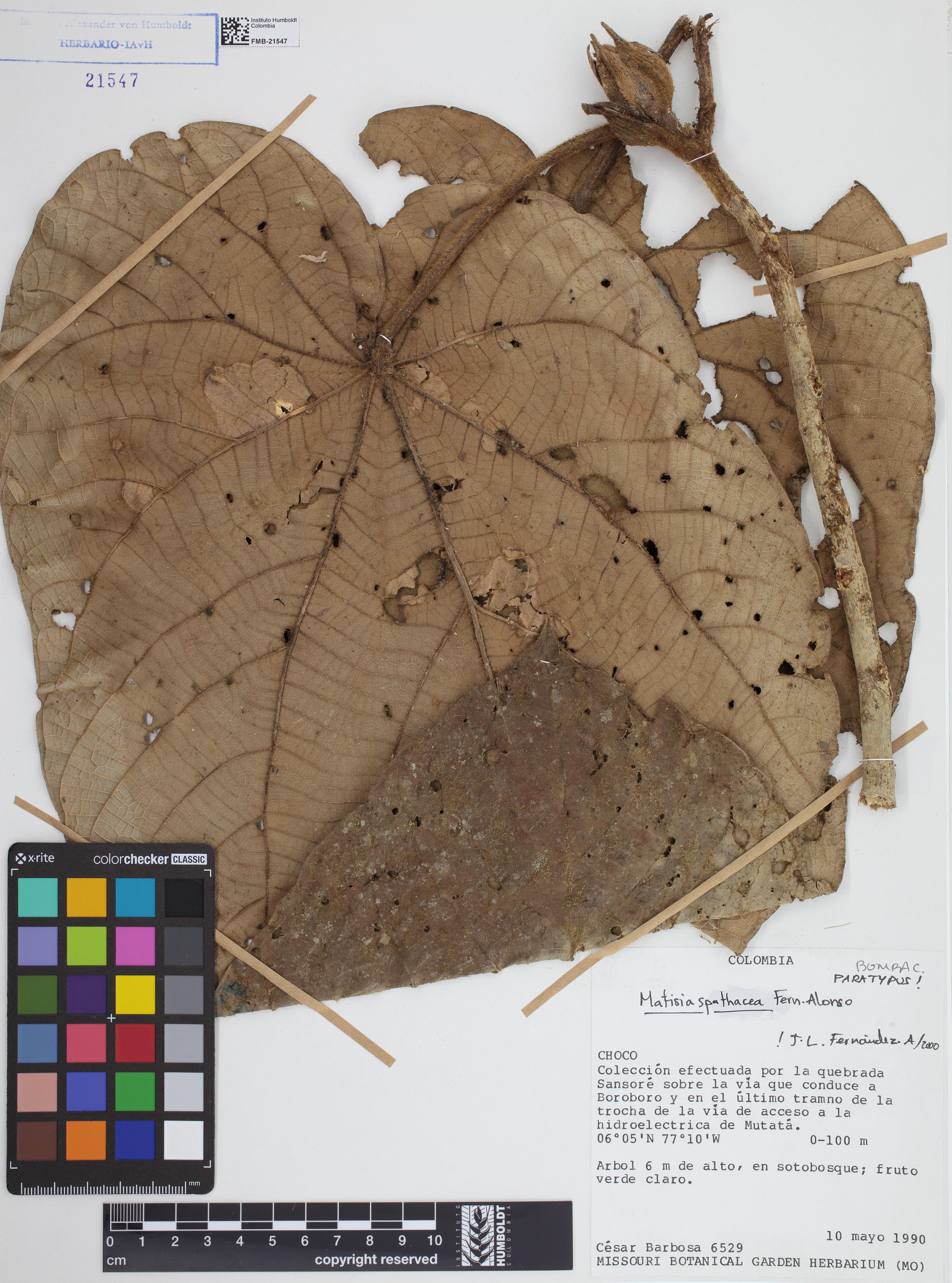 Paratipo de <em>Matisia spathacea</em>, FMB-21547, Fotografía por Robles A.