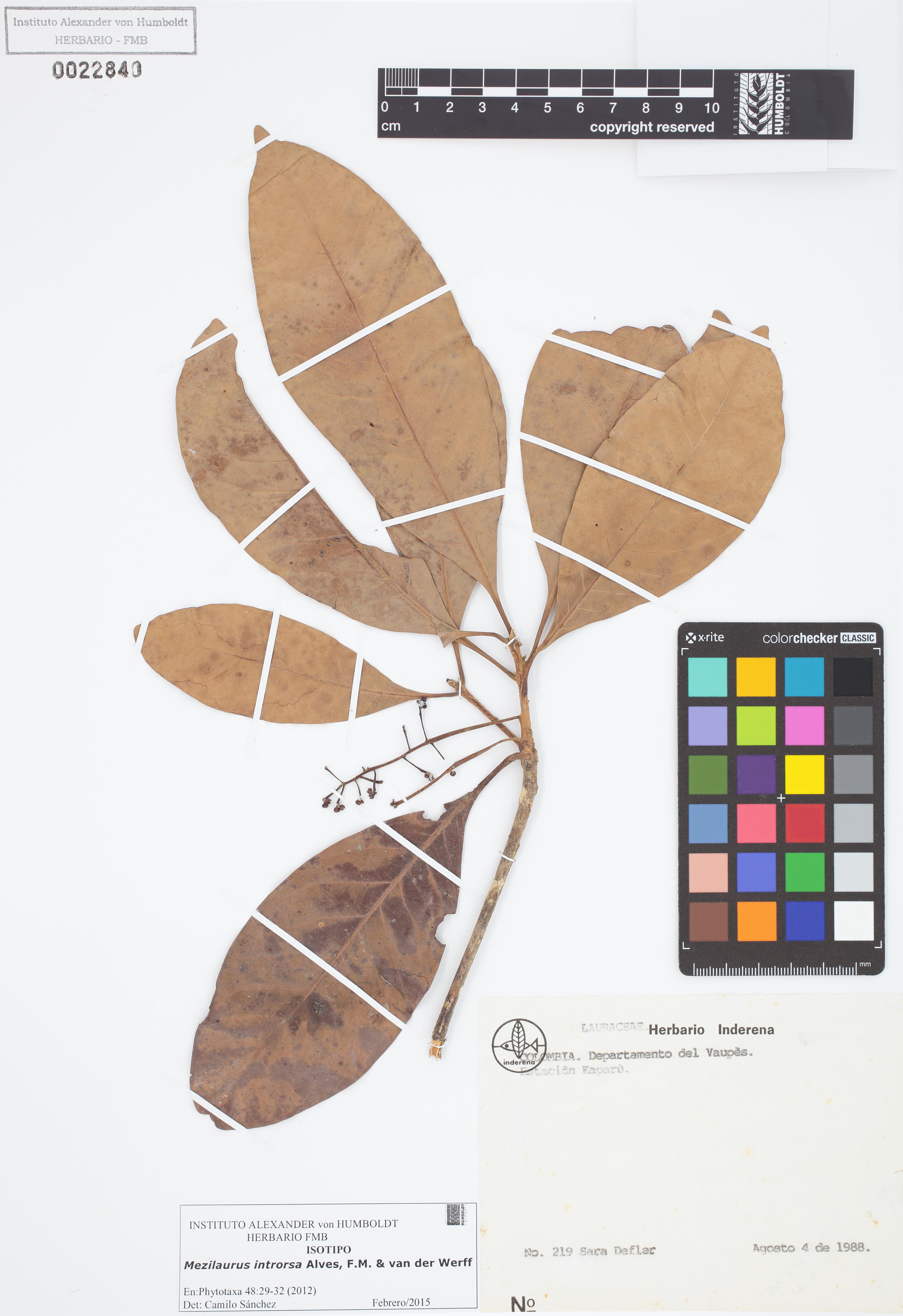 Isotipo de <em>Mezilaurus introrsa</em>, FMB-22840, Fotografía por Robles A.