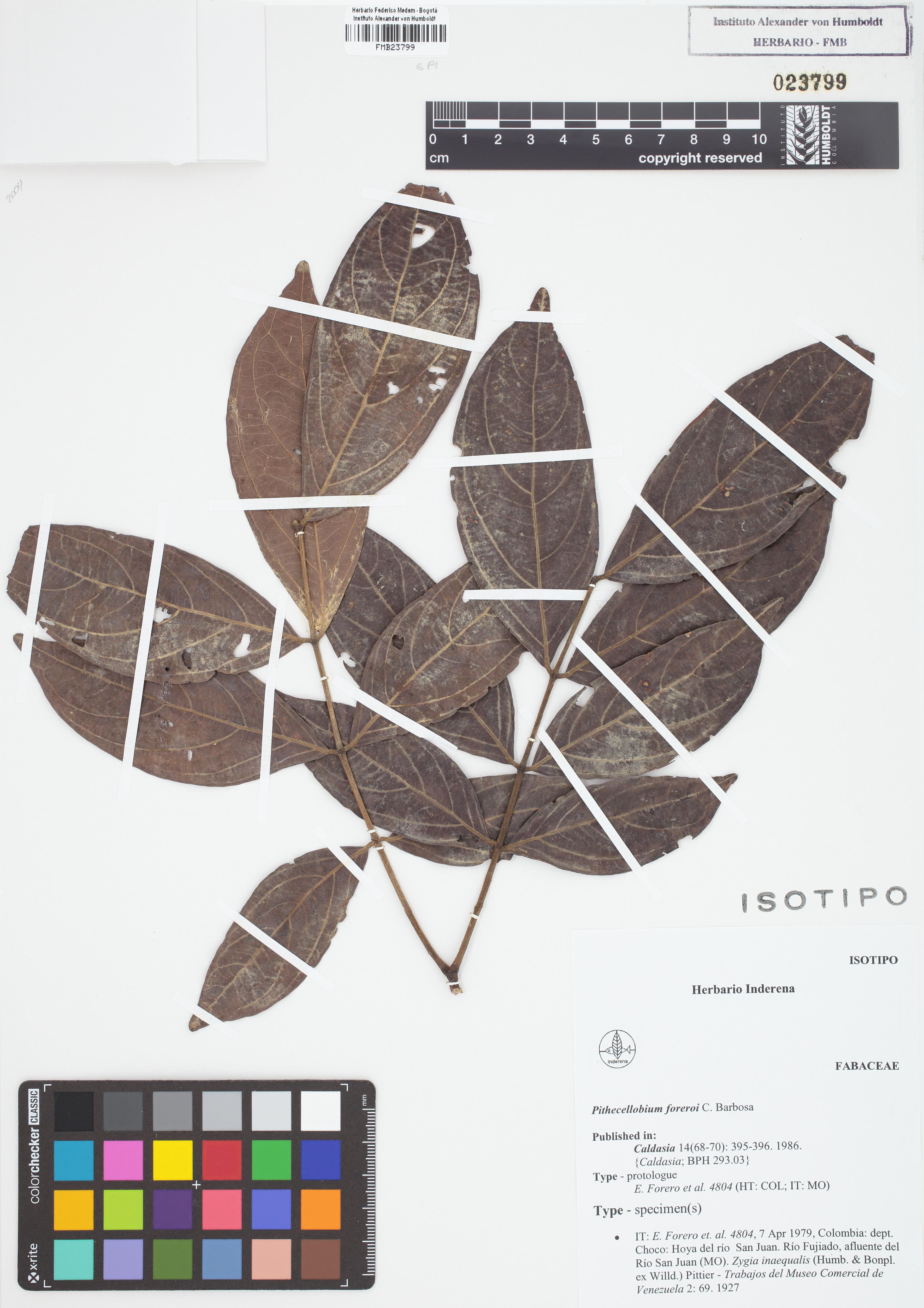 Isotipo de <em>Pithecellobium foreroi</em>, FMB-23799, Fotografía por Robles A.