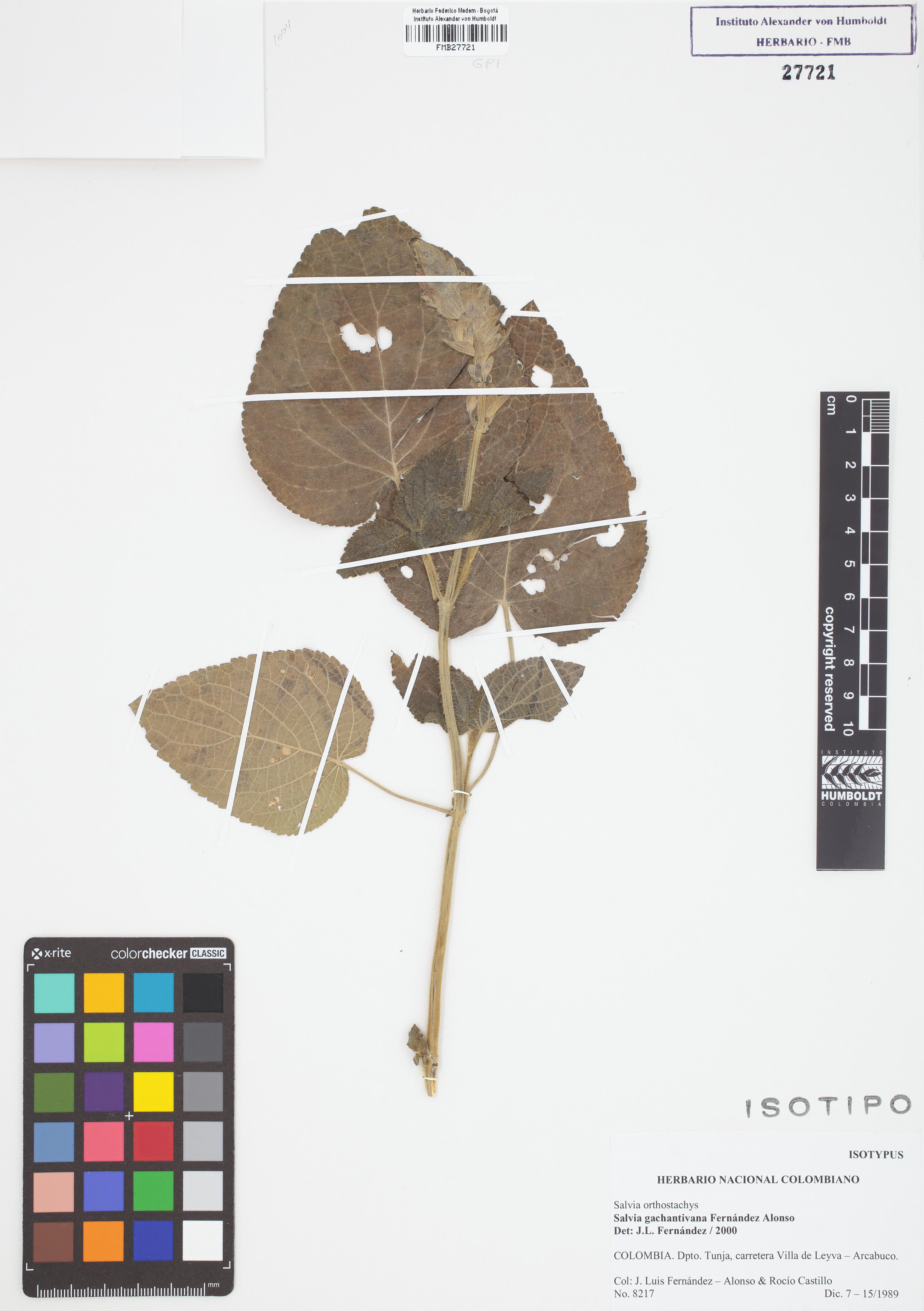 Isotipo de <em>Salvia gachantivana</em> subsp. <em>gachantivana</em>, FMB-27721, Fotografía por Robles A.