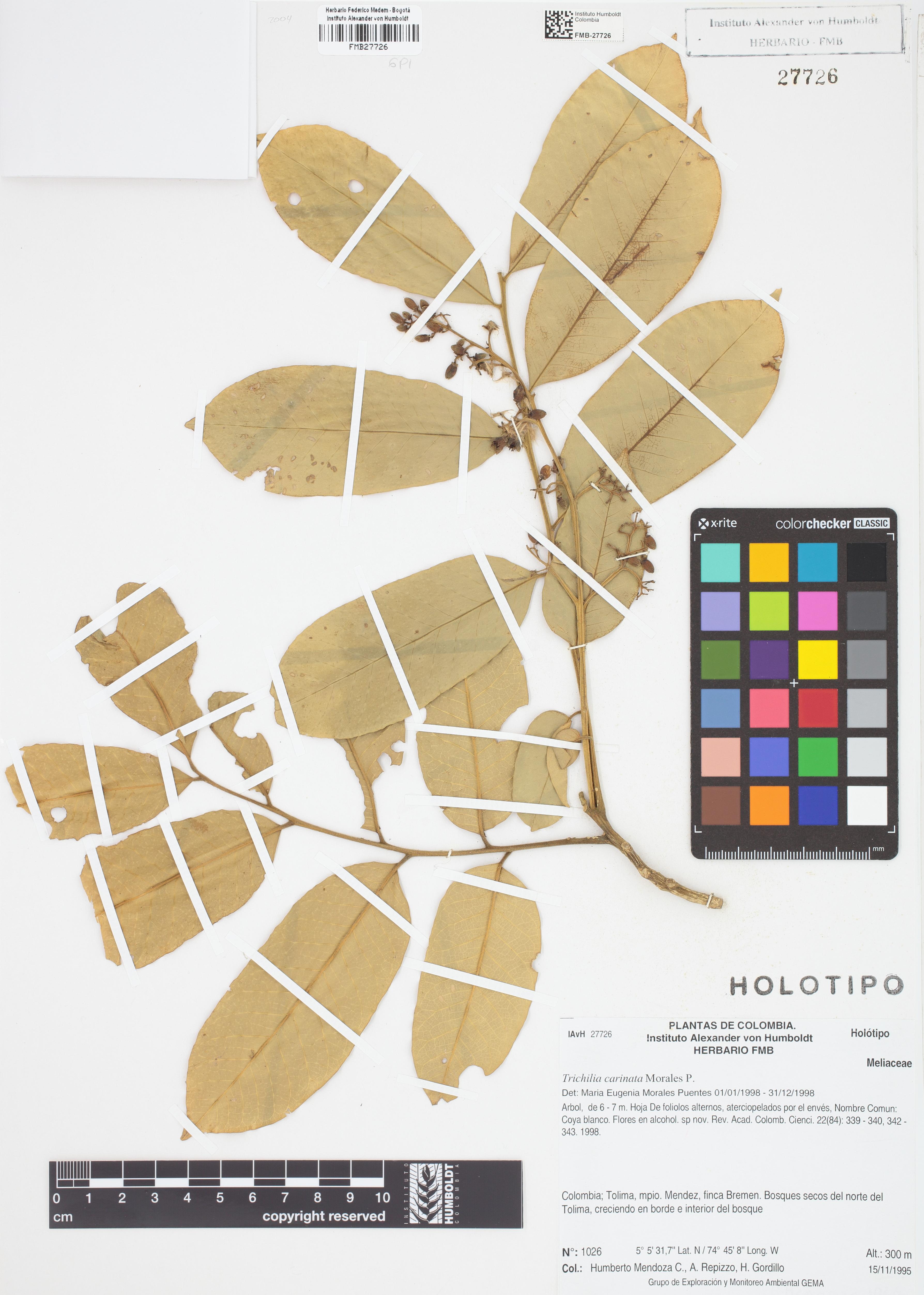 Holotipo de <em>Trichilia carinata</em>, FMB-27726, Fotografía por Robles A.