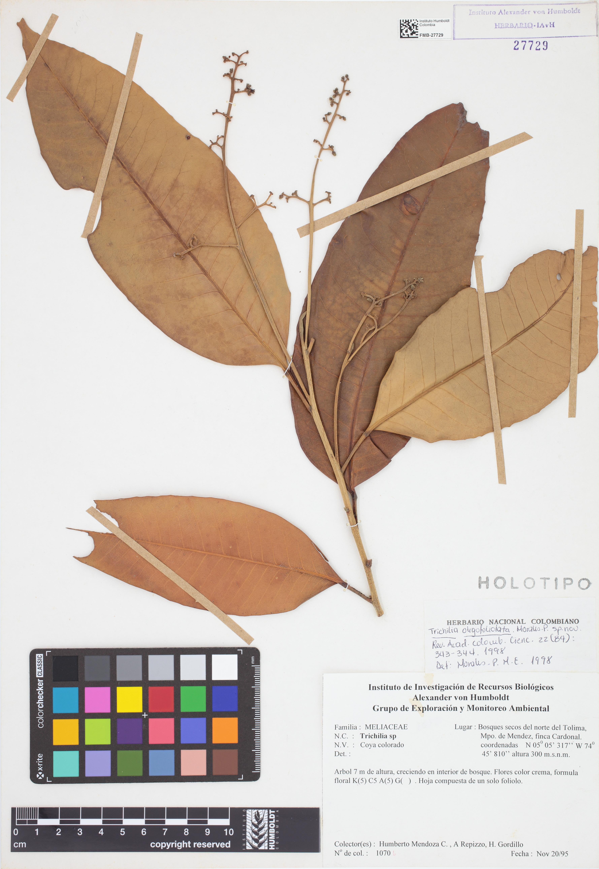 Holotipo de <em>Trichilia oligofoliolata</em>, FMB-27729, Fotografía por Robles A.