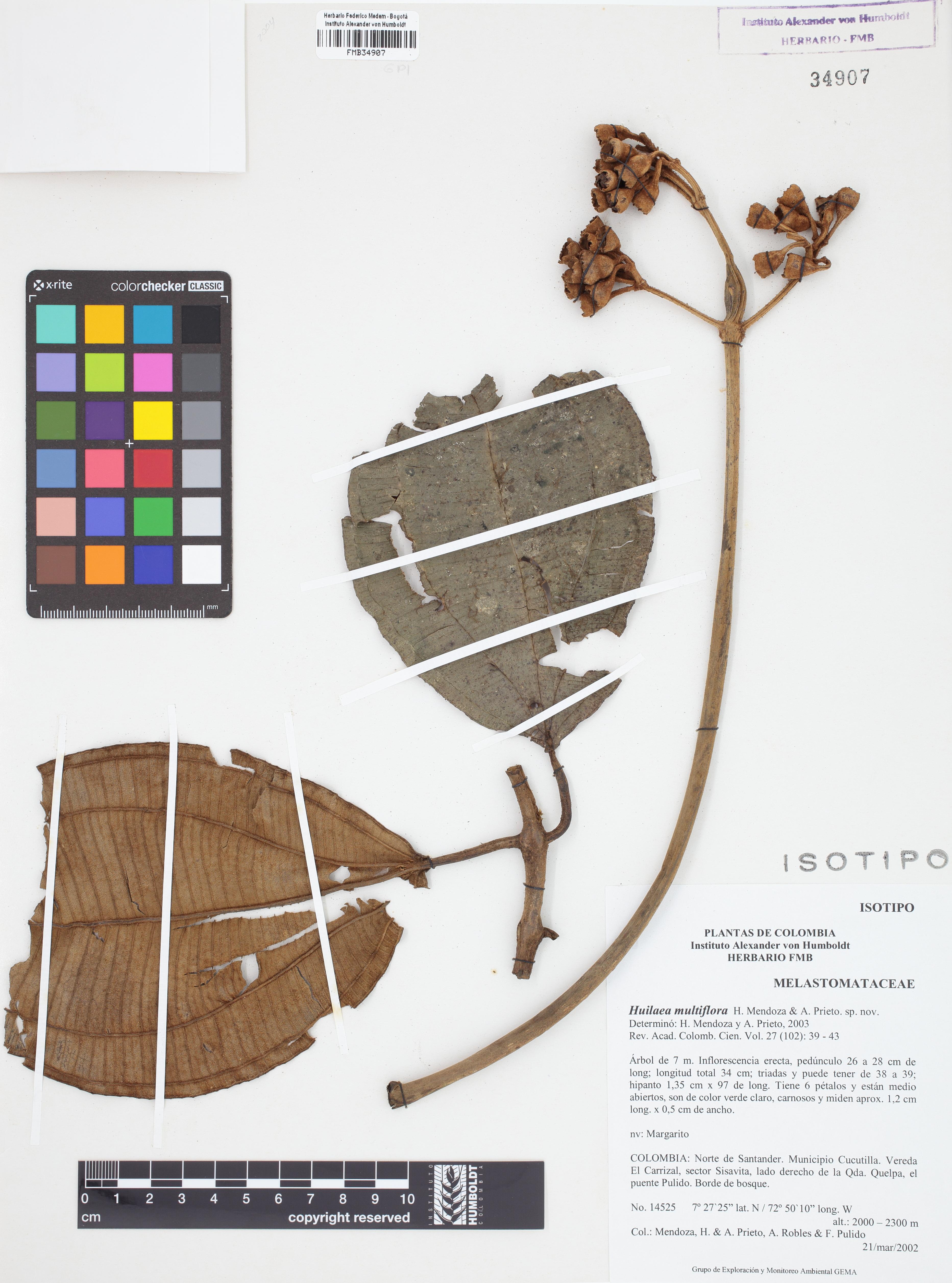 Isotipo de <em>Huilaea multiflora</em>, FMB-34907, Fotografía por Robles A.