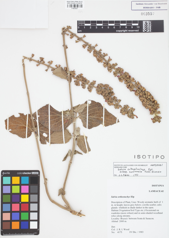 Isotipo de <em>Salvia orthostachys</em> subsp. <em>soatensis</em>, FMB-3557, Fotografía por Robles A.