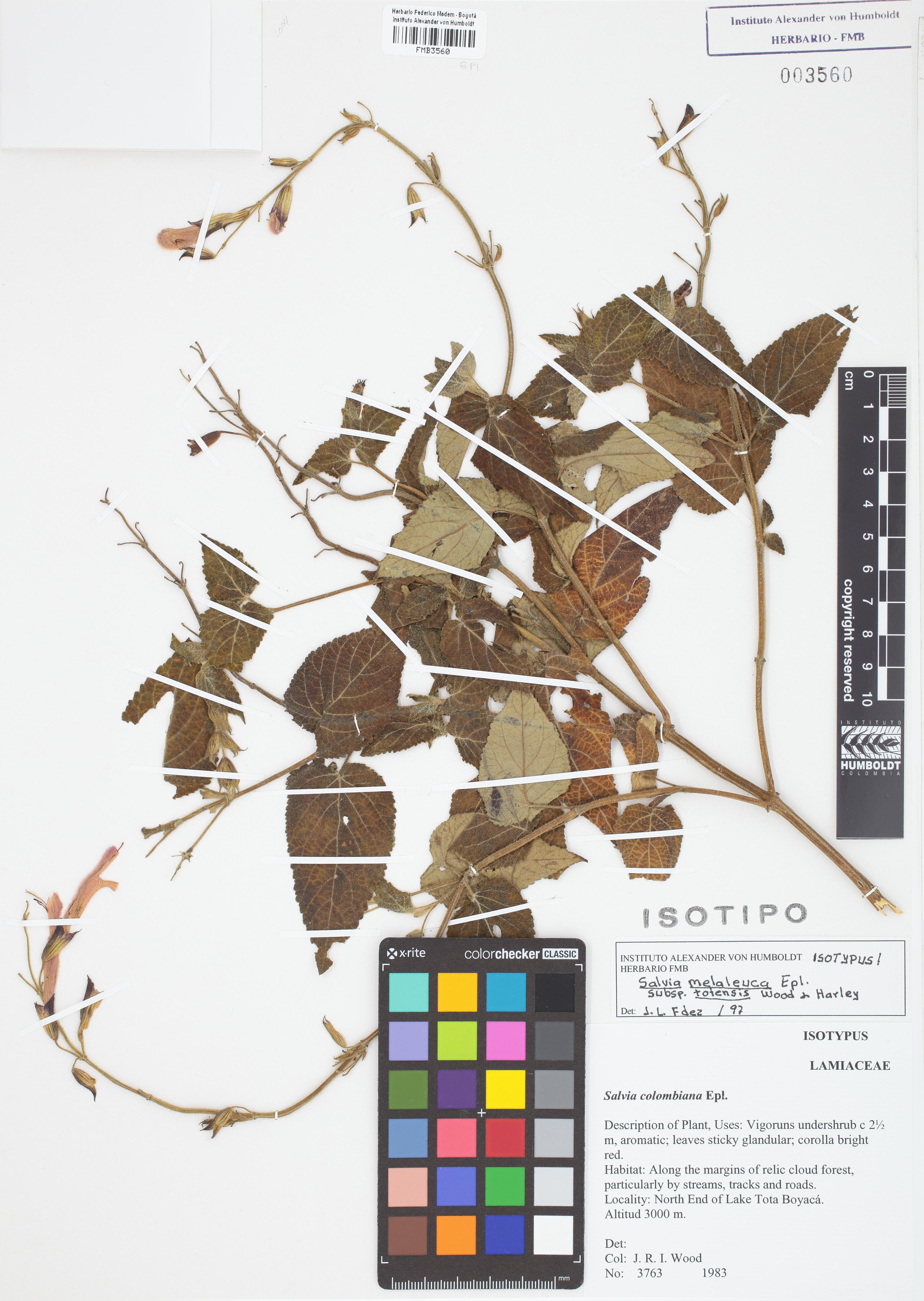 Isotipo de <em>Salvia melaleuca</em> subsp. <em>totensis</em>, FMB-3560, Fotografía por Robles A.