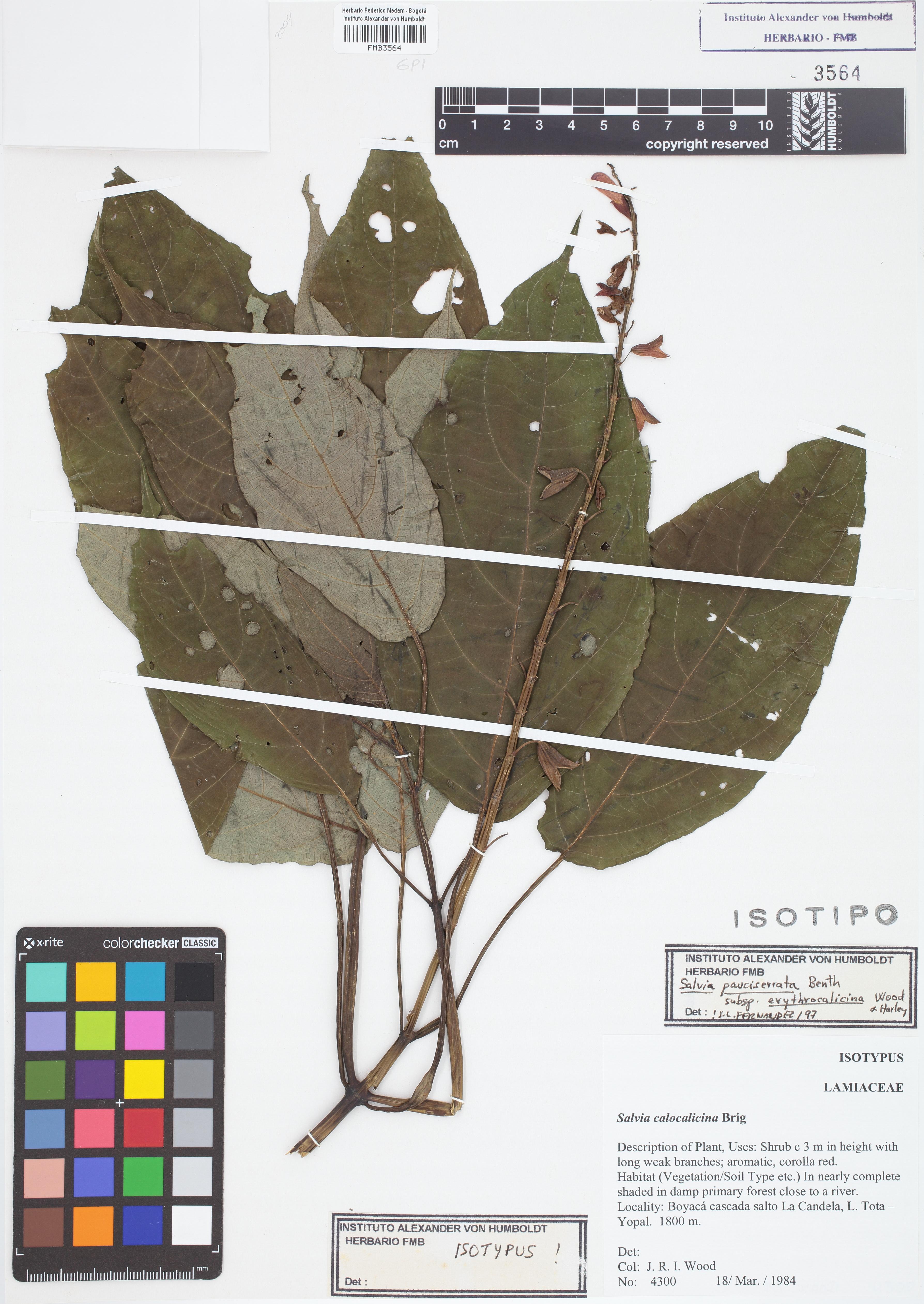 Isotipo de <em>Salvia pauciserrata</em> subsp. <em>erythrocalicina</em>, FMB-3564, Fotografía por Robles A.
