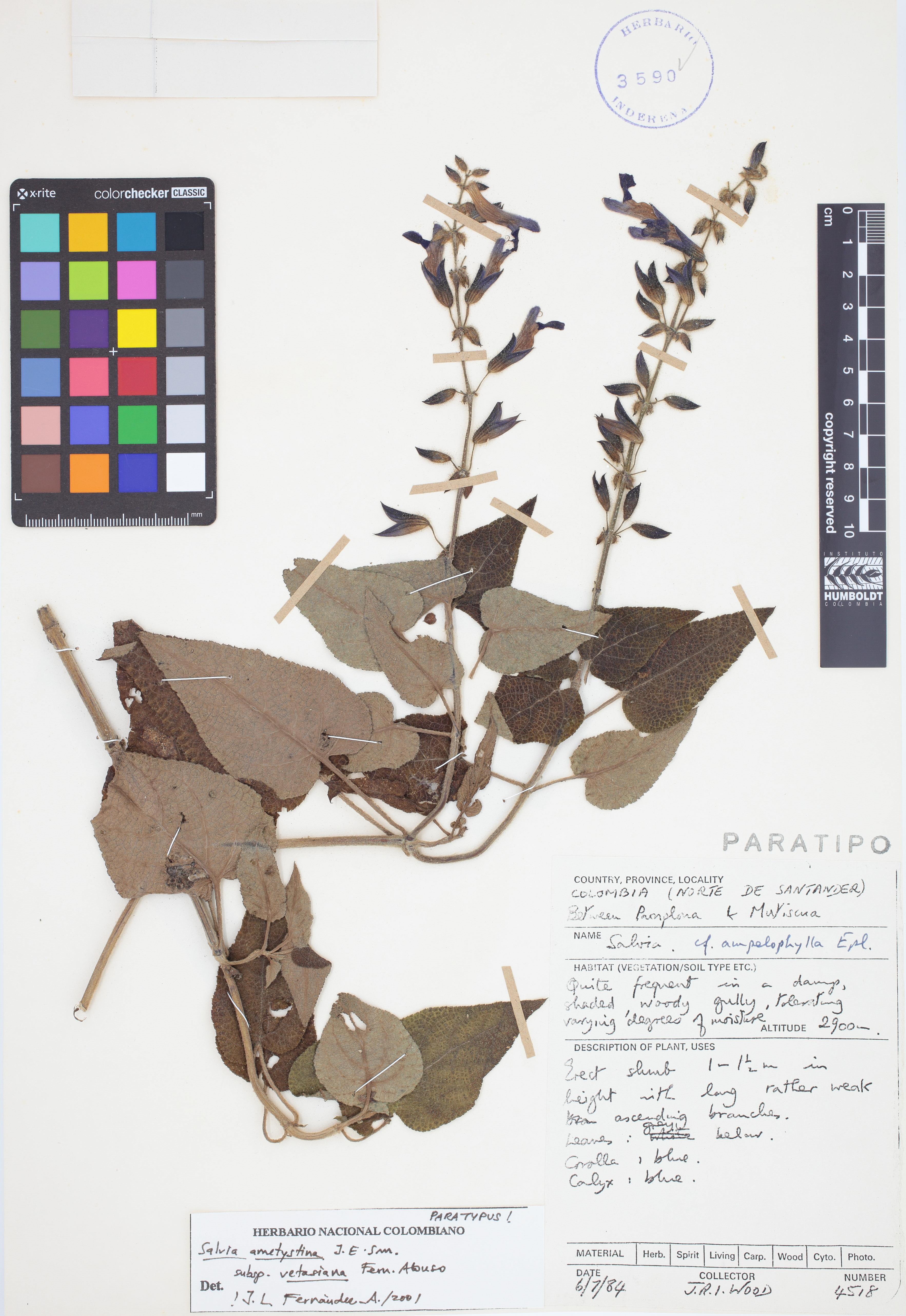 Paratipo de <em>Salvia amethystina</em> subsp. <em>vetasiana</em>, FMB-3590, Fotografía por Robles A.