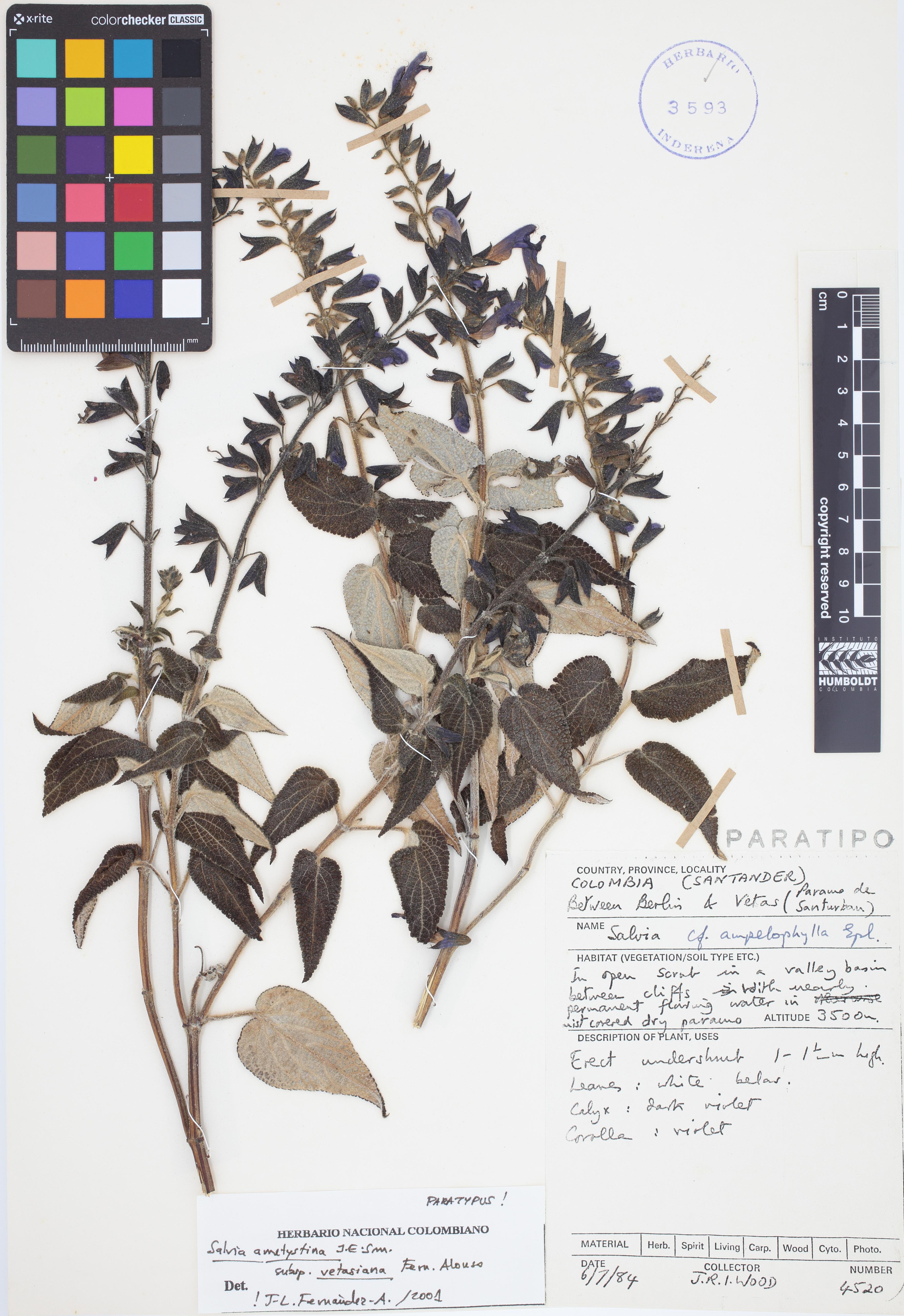 Paratipo de <em>Salvia amethystina</em> subsp. <em>vetasiana</em>, FMB-3593, Fotografía por Robles A.