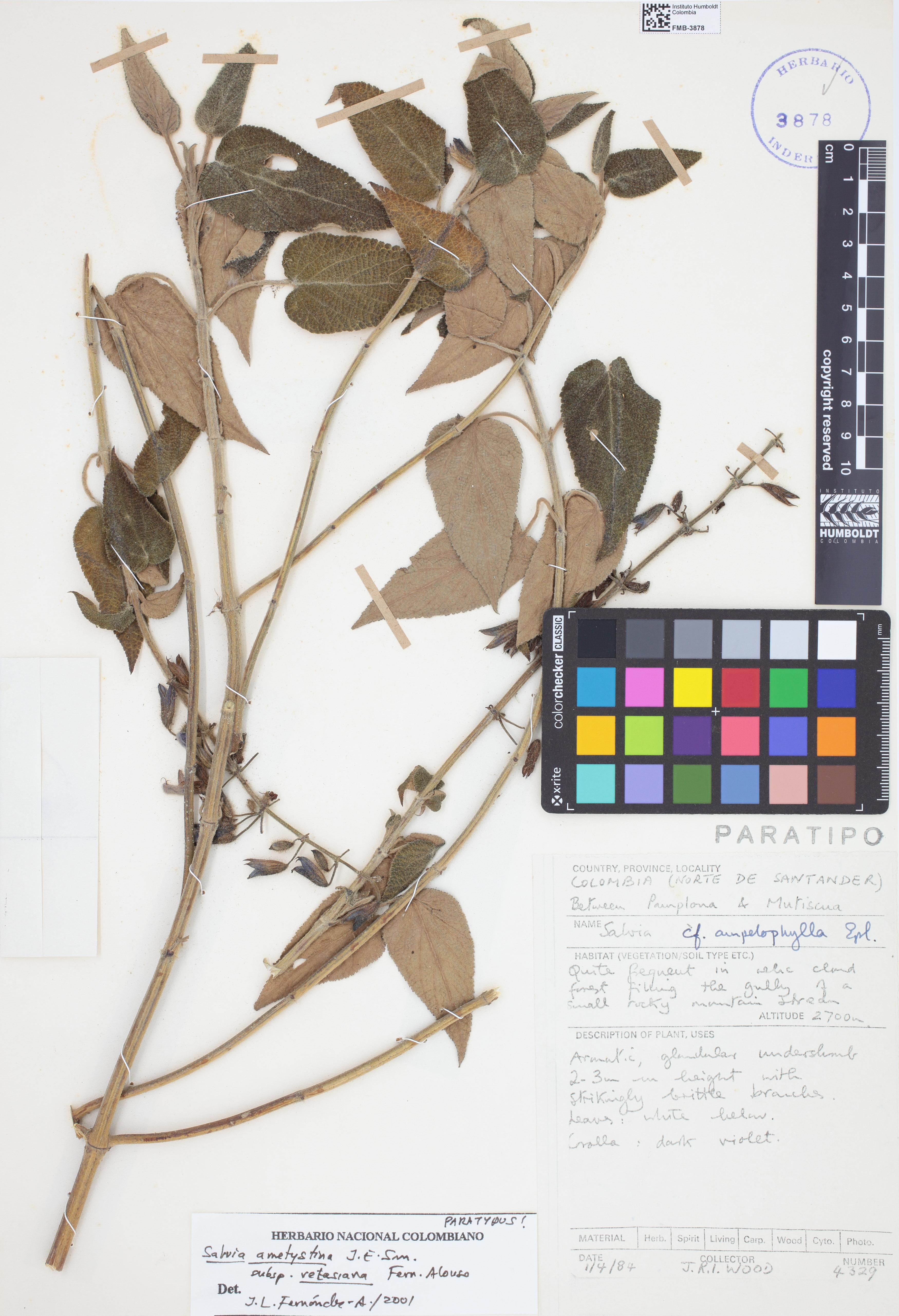 Paratipo de <em>Salvia amethystina</em> subsp. <em>vetasiana</em>, FMB-3878, Fotografía por Robles A.