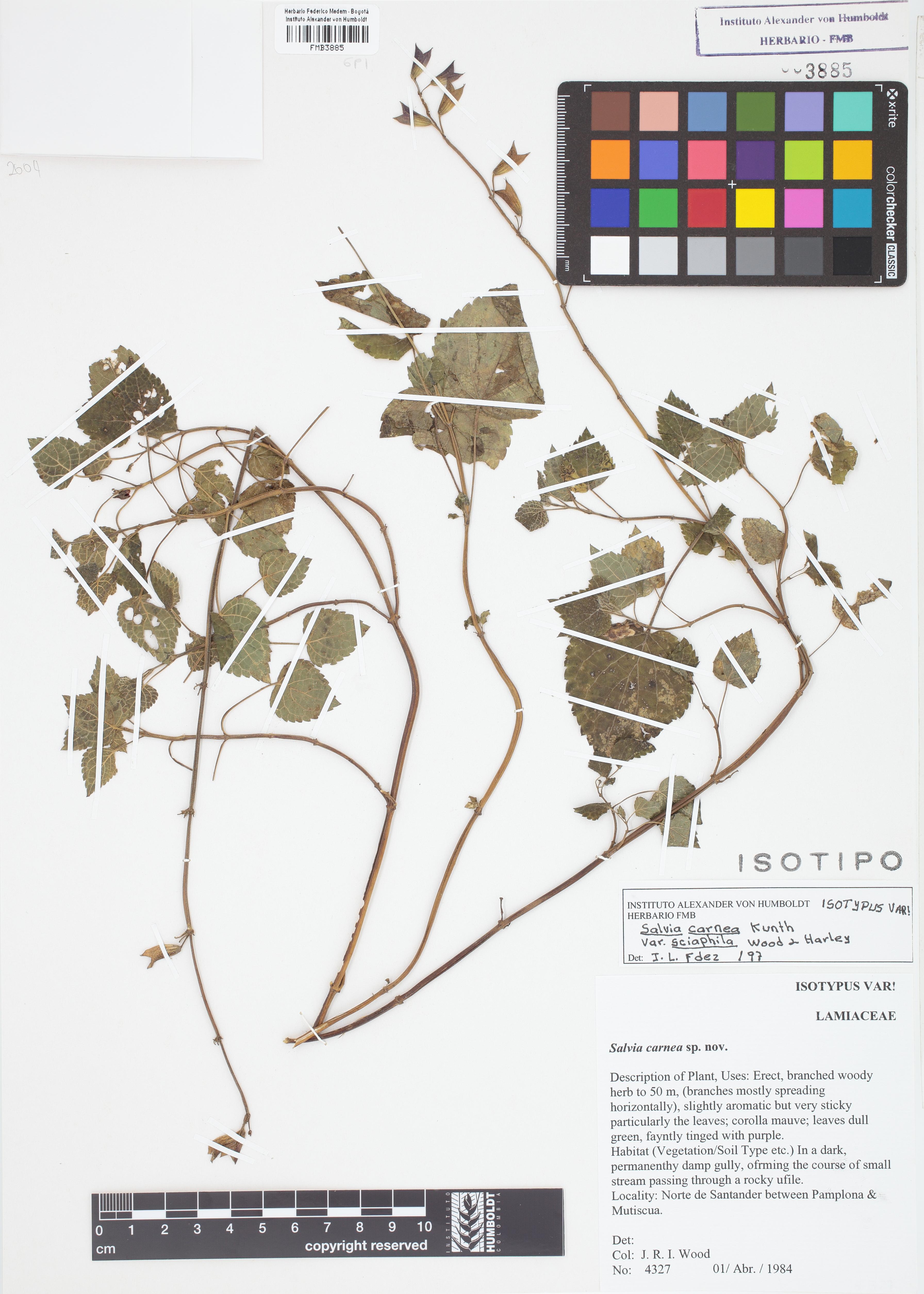 Isotipo de <em>Salvia carnea</em> var. <em>sciaphila</em>, FMB-3885, Fotografía por Robles A.