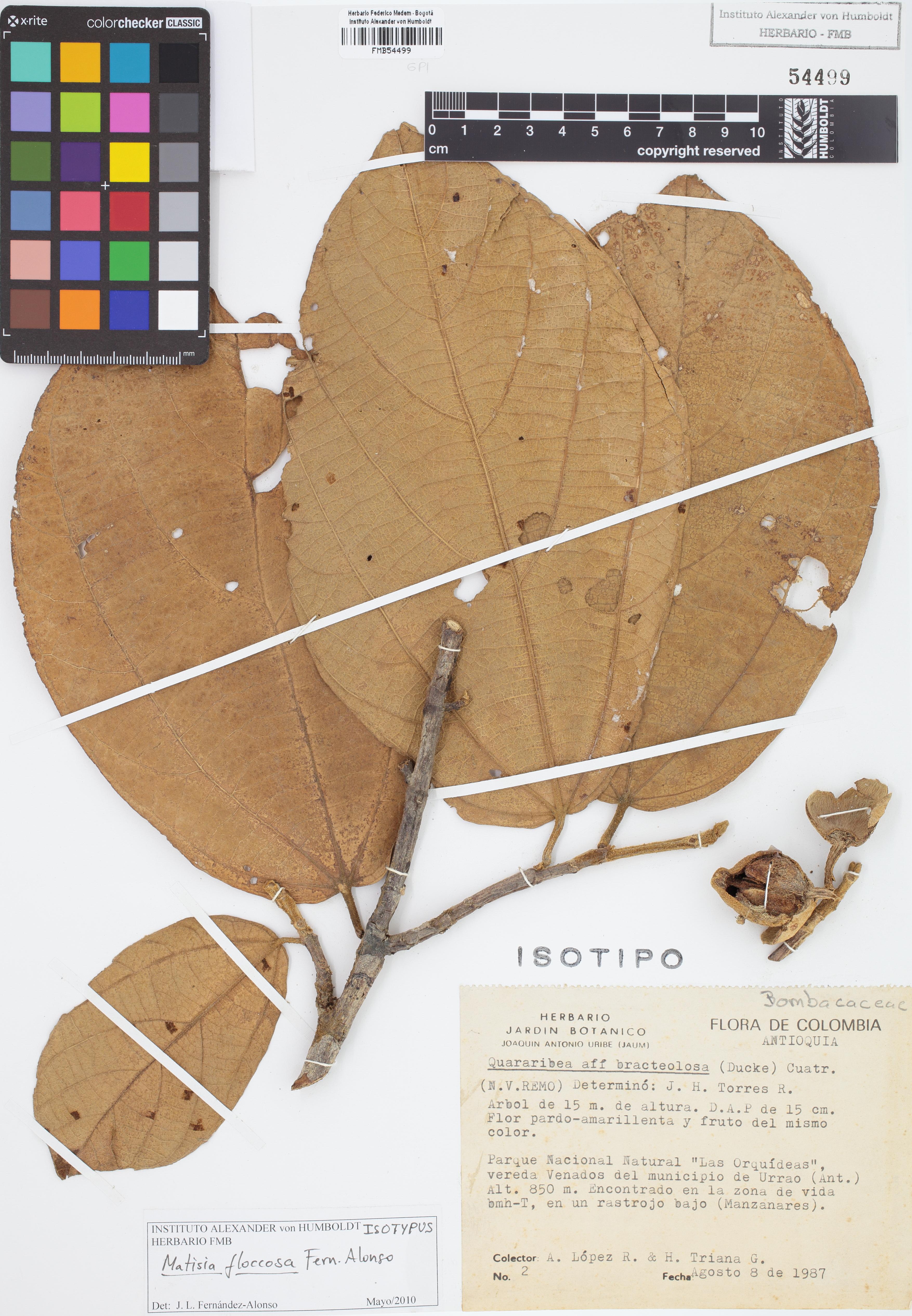 Isotipo de <em>Matisia floccosa</em>, FMB-54499, Fotografía por Robles A.
