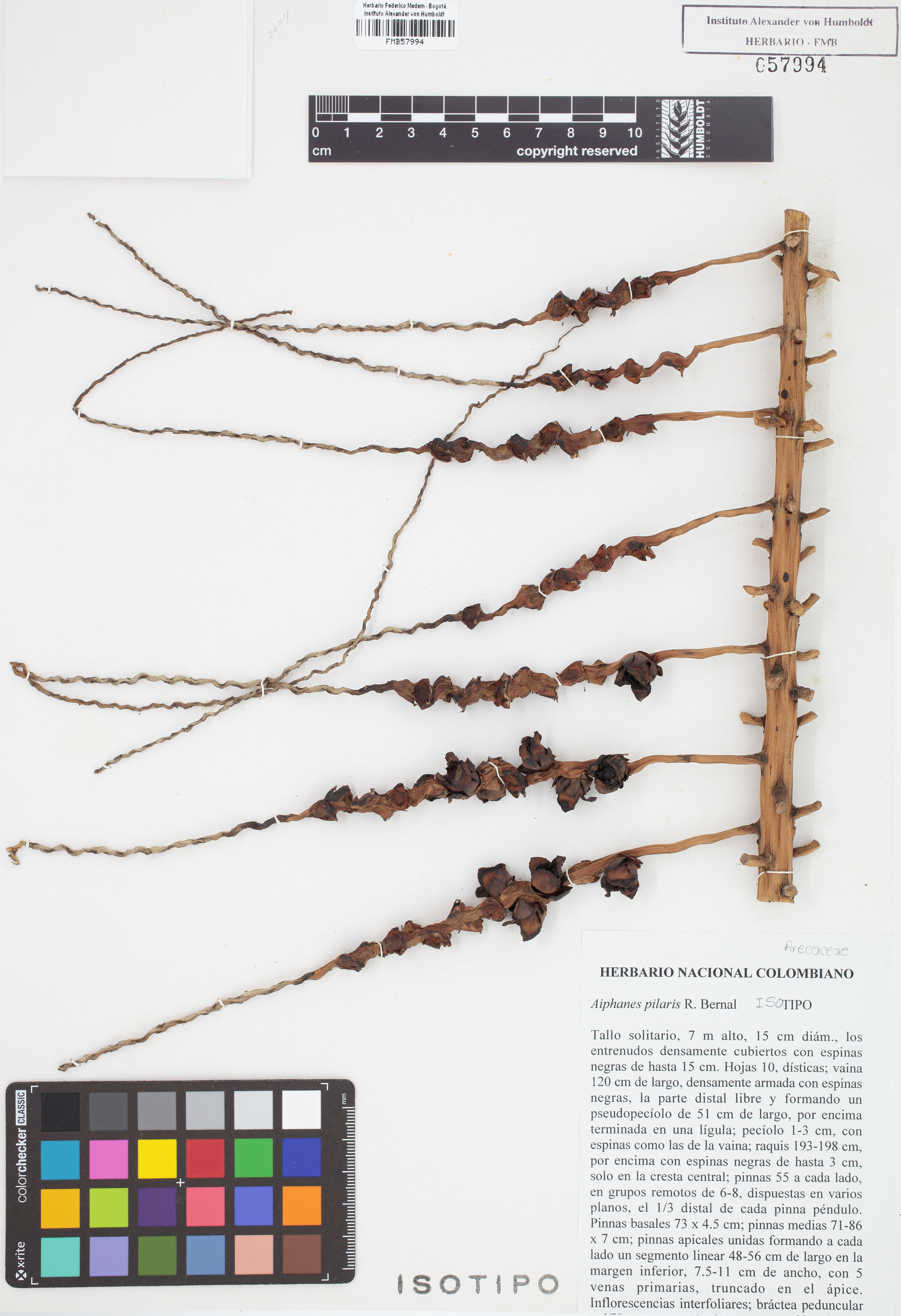 Isotipo de <em>Aiphanes pilaris</em>, FMB-57994, Fotografía por Robles A.