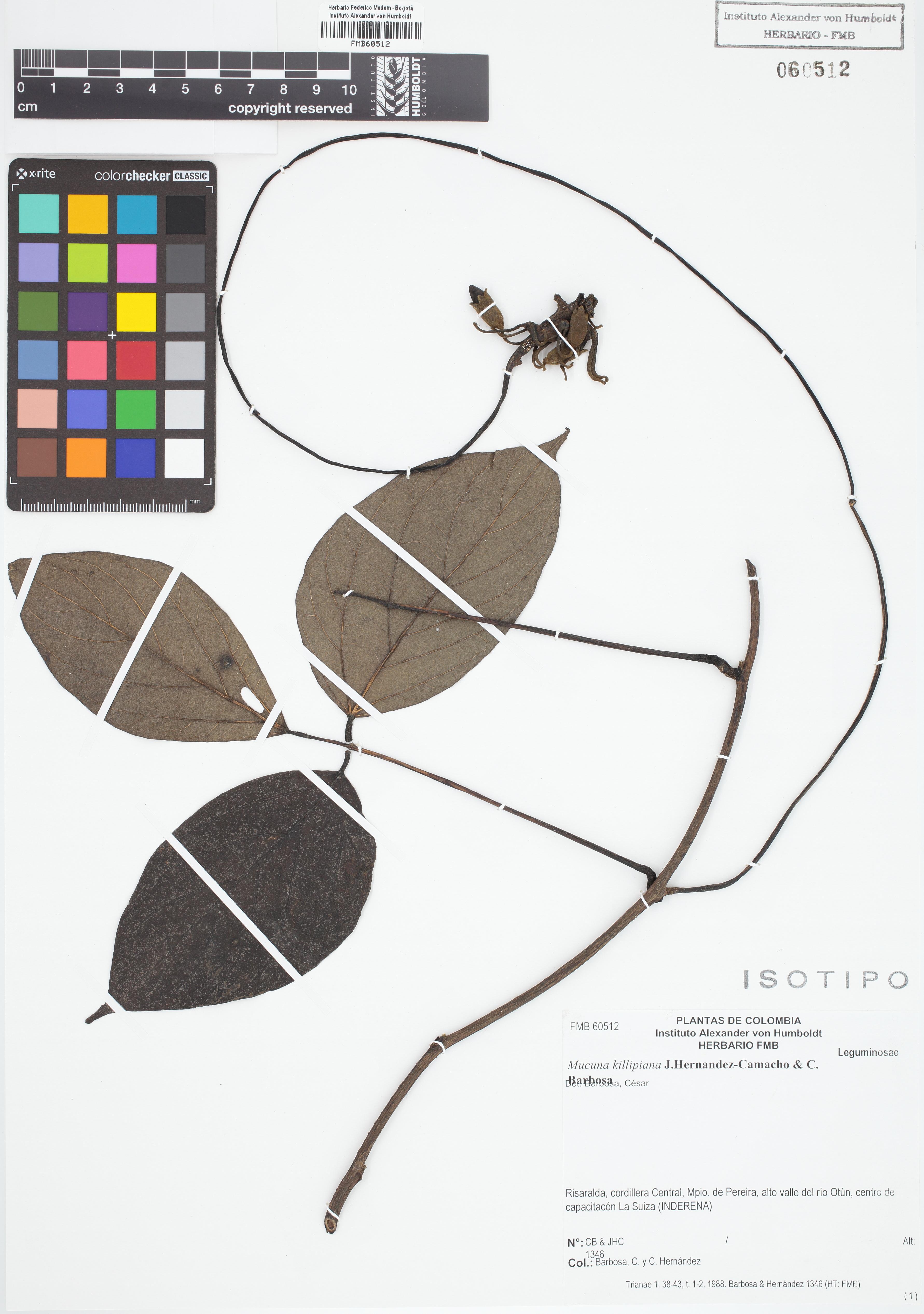 Isotipo de <em>Mucuna killipiana</em>, FMB-60512, Fotografía por Robles A.