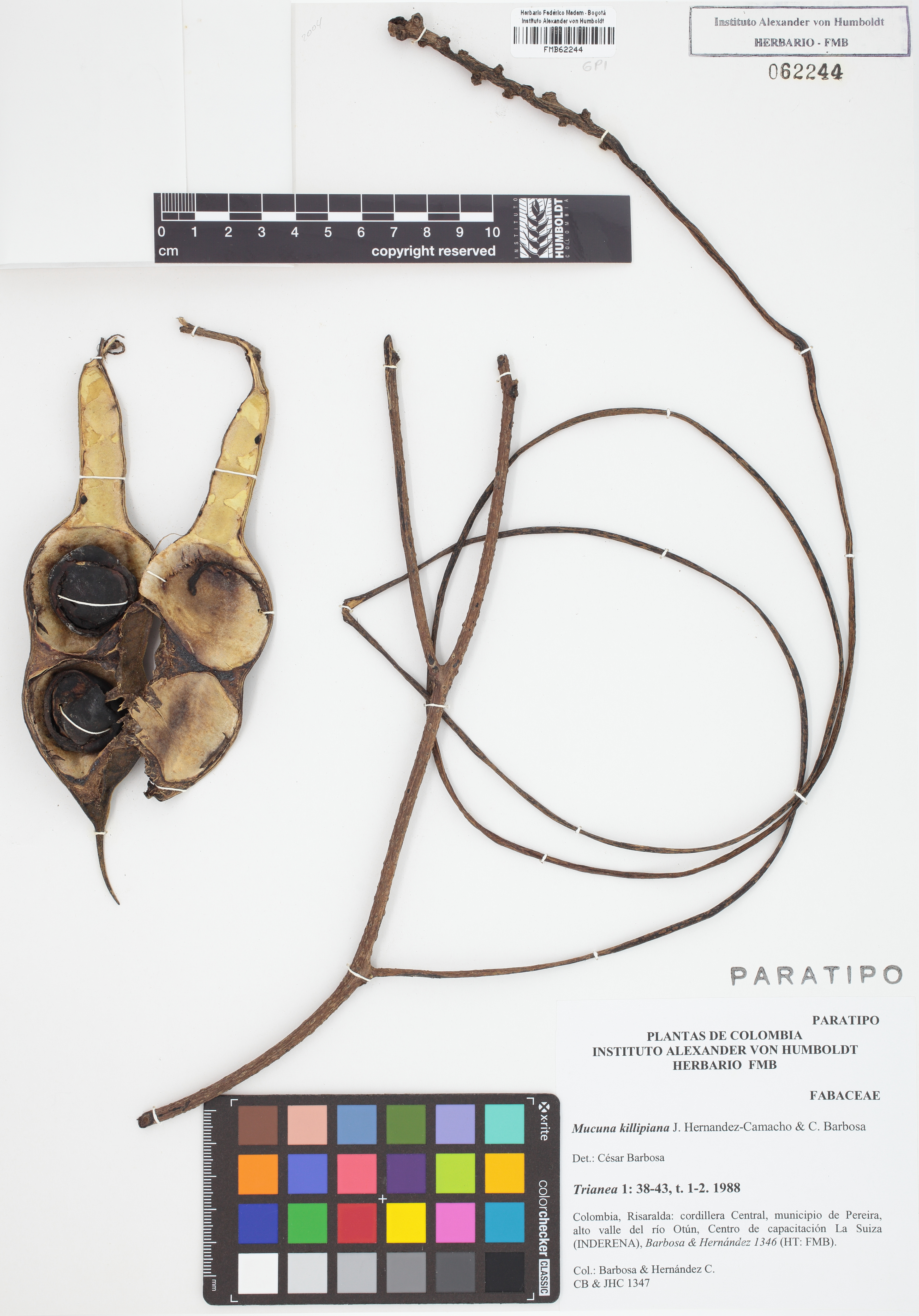 Paratipo de <em>Mucuna killipiana</em>, FMB-62244, Fotografía por Robles A.