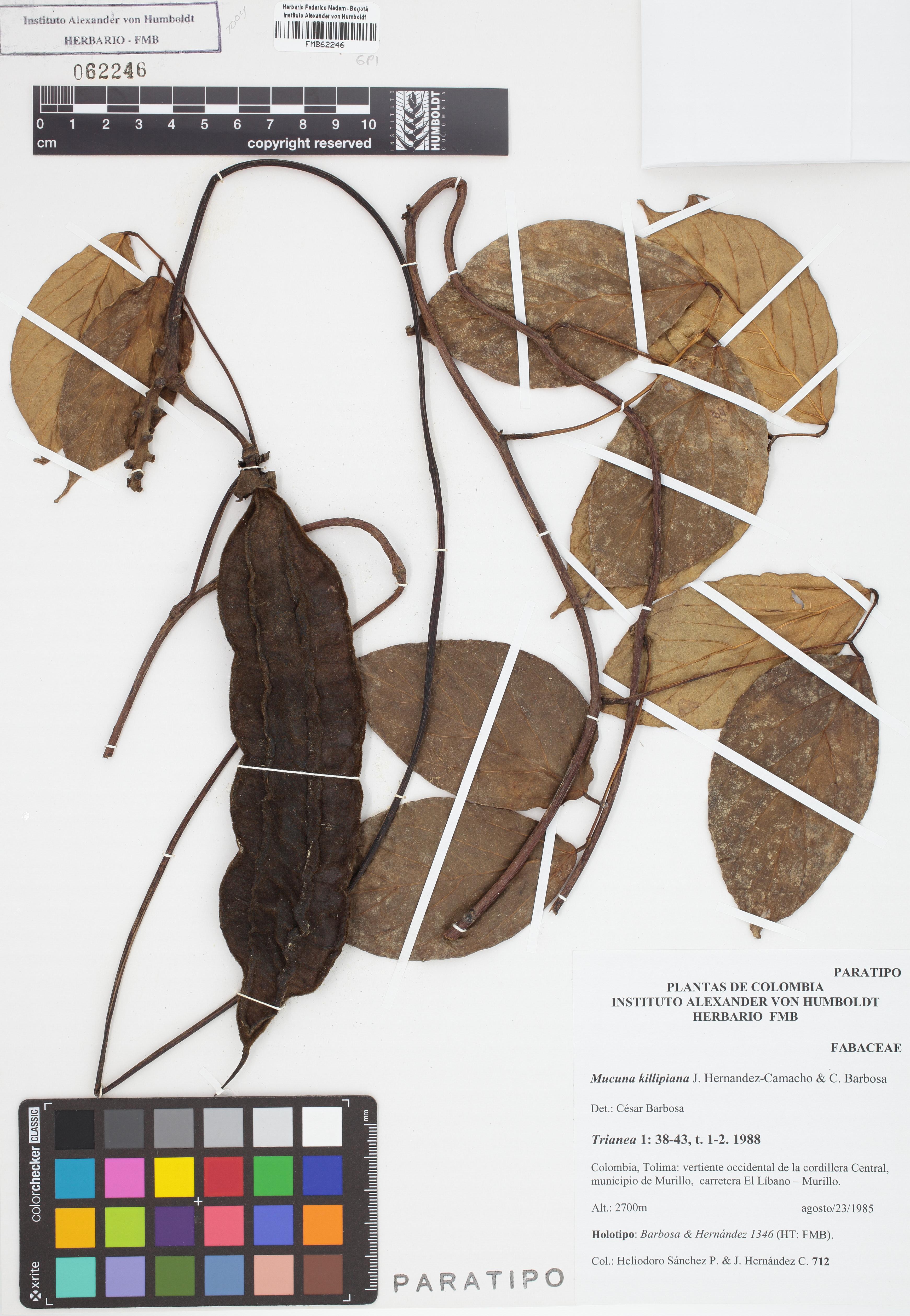 Paratipo de <em>Mucuna killipiana</em>, FMB-62246, Fotografía por Robles A.