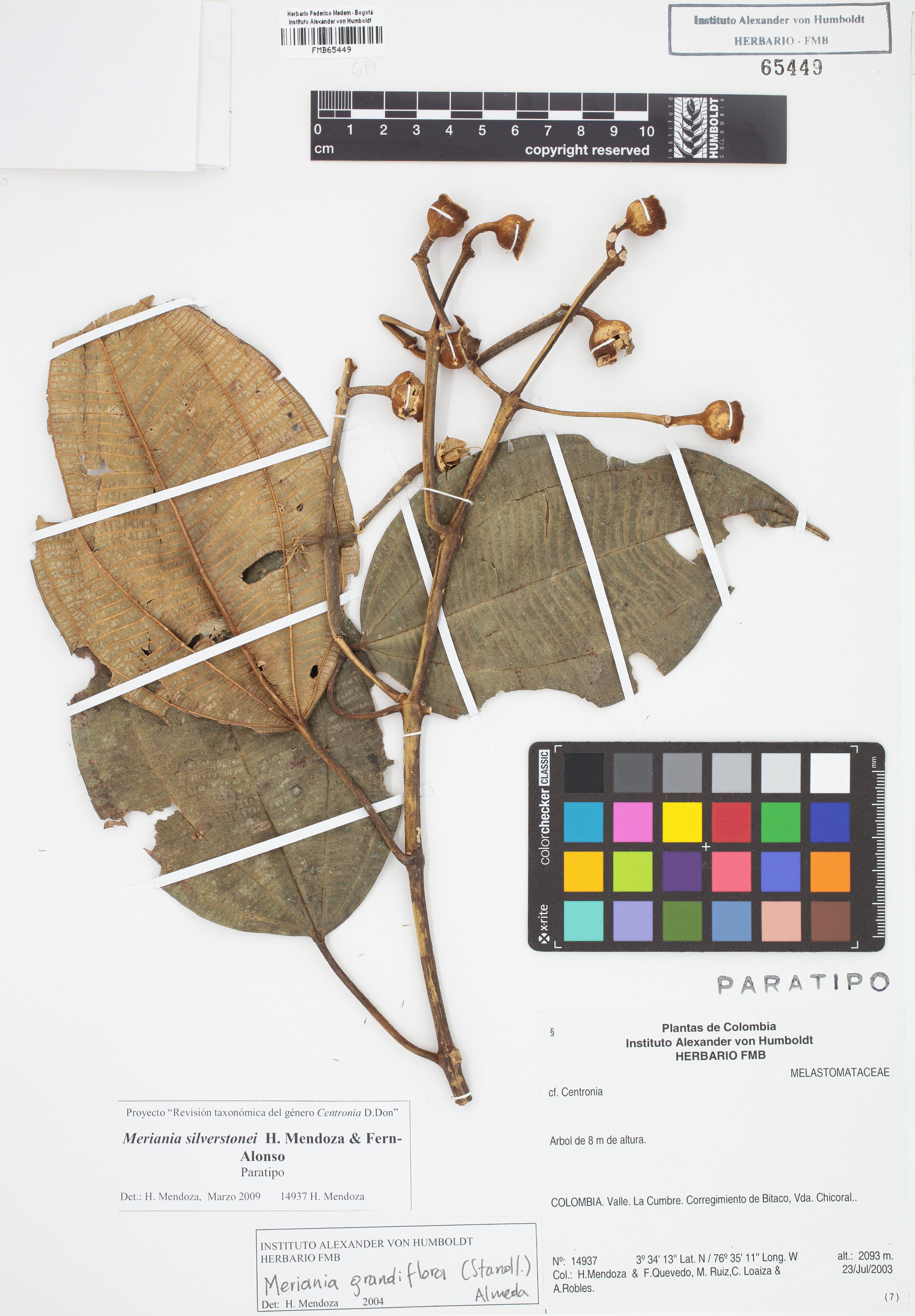 Paratipo de <em>Meriania silverstonei</em>, FMB-65449, Fotografía por Robles A.