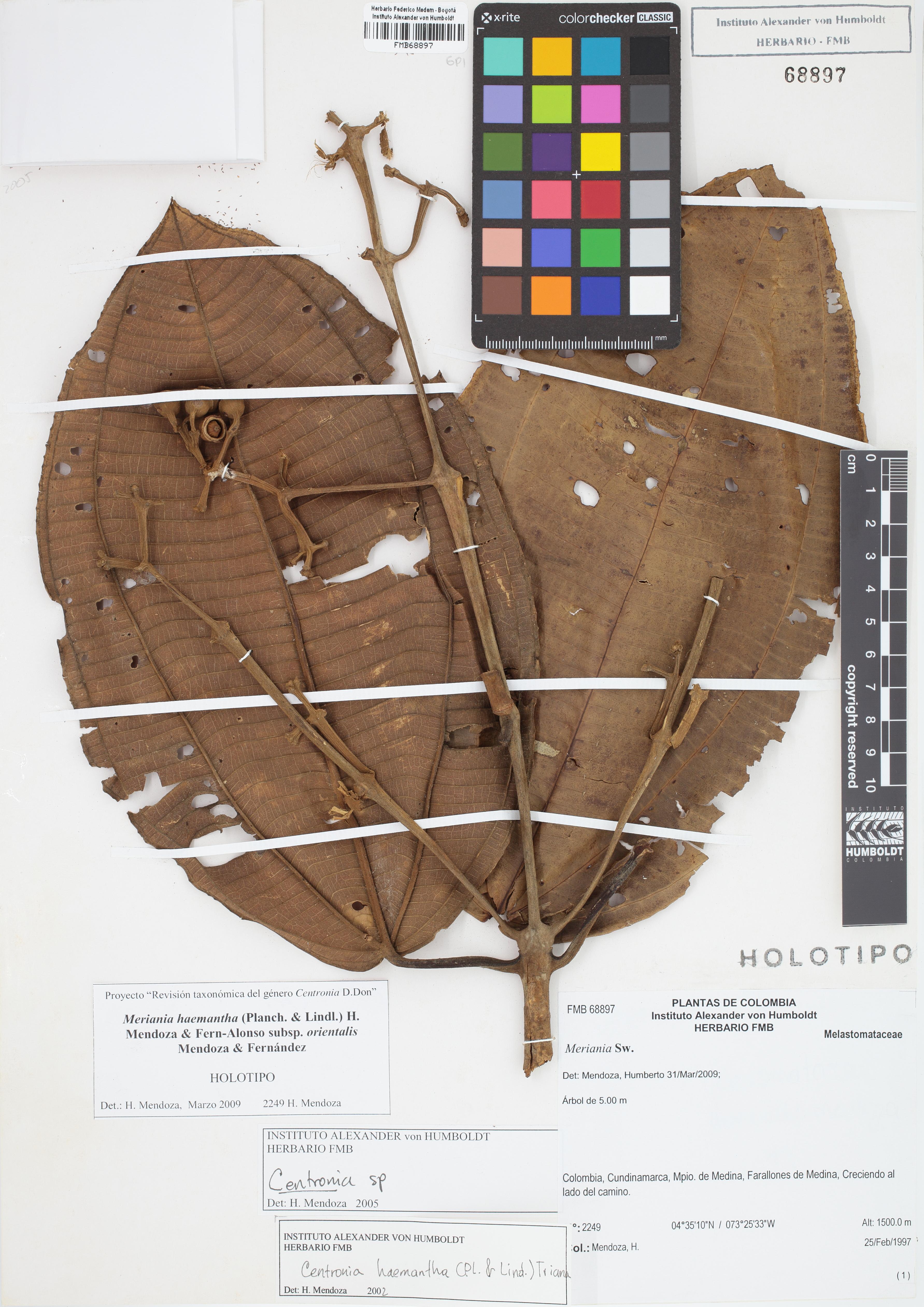 Holotipo de <em>Meriania haemantha</em> subsp. <em>orientalis</em>, FMB-68897, Fotografía por Robles A.