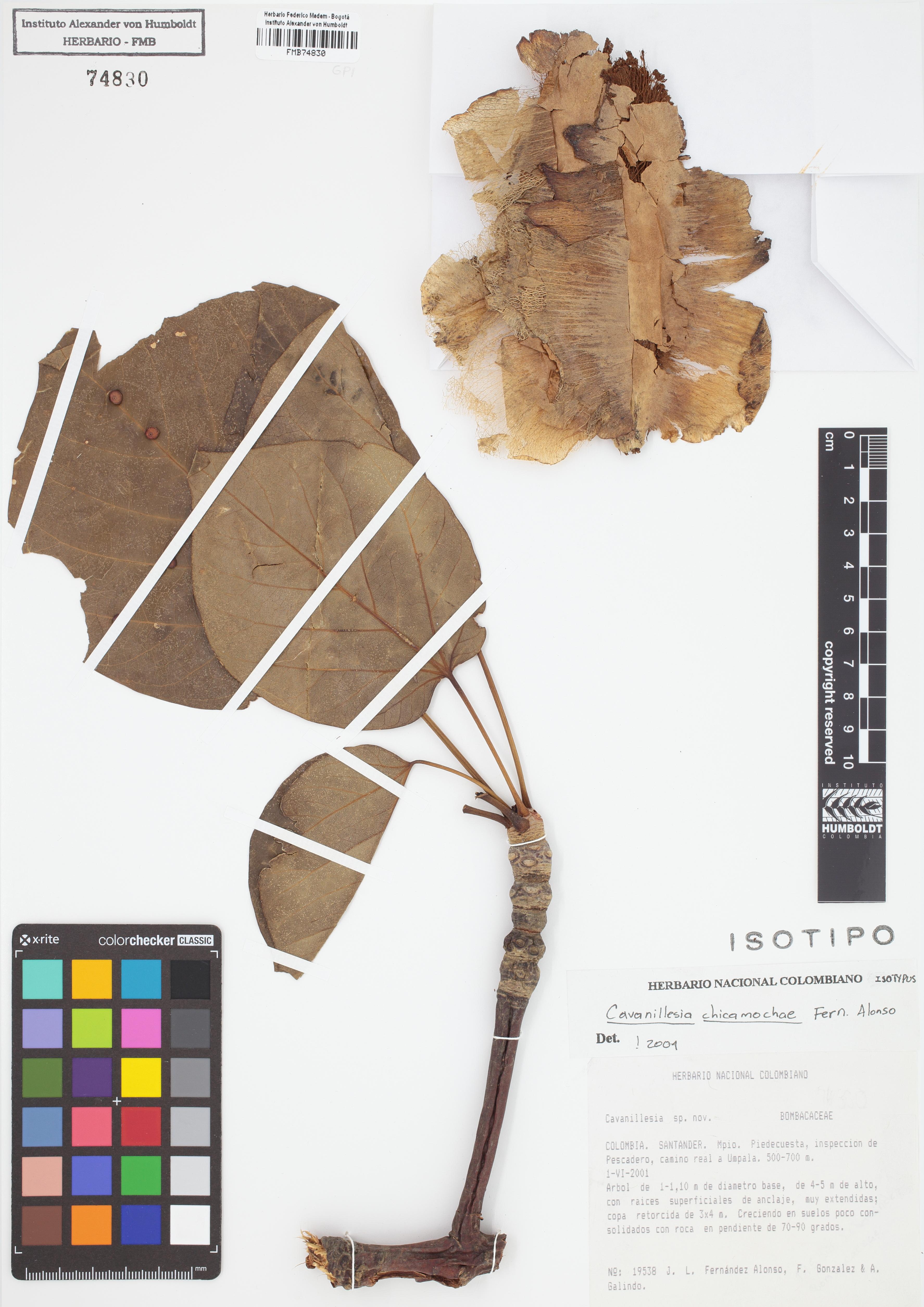 Isotipo de <em>Cavanillesia chicamochae</em>, FMB-74830, Fotografía por Robles A.