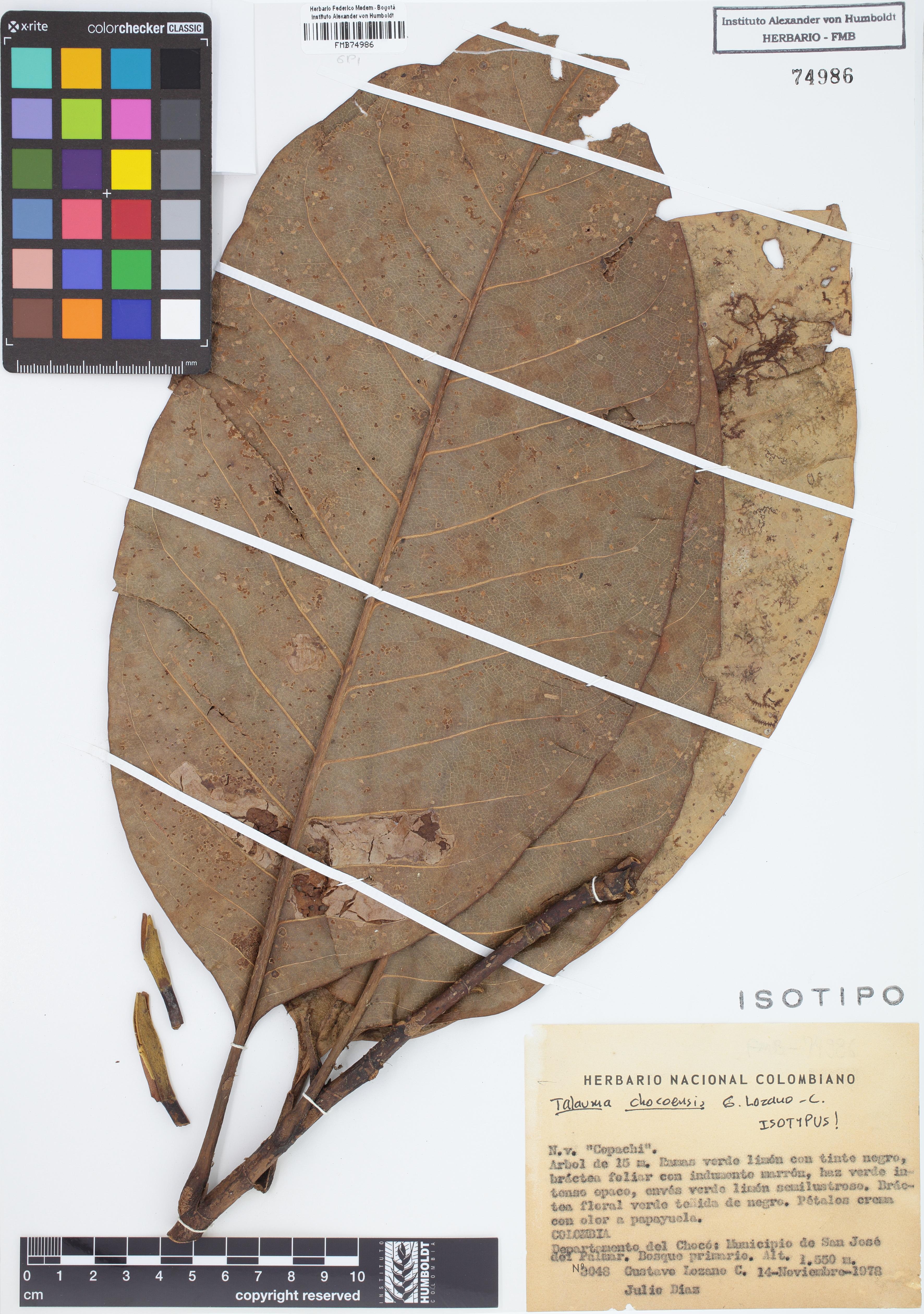 Isotipo de <em>Talauma chocoensis</em>, FMB-74986, Fotografía por Robles A.