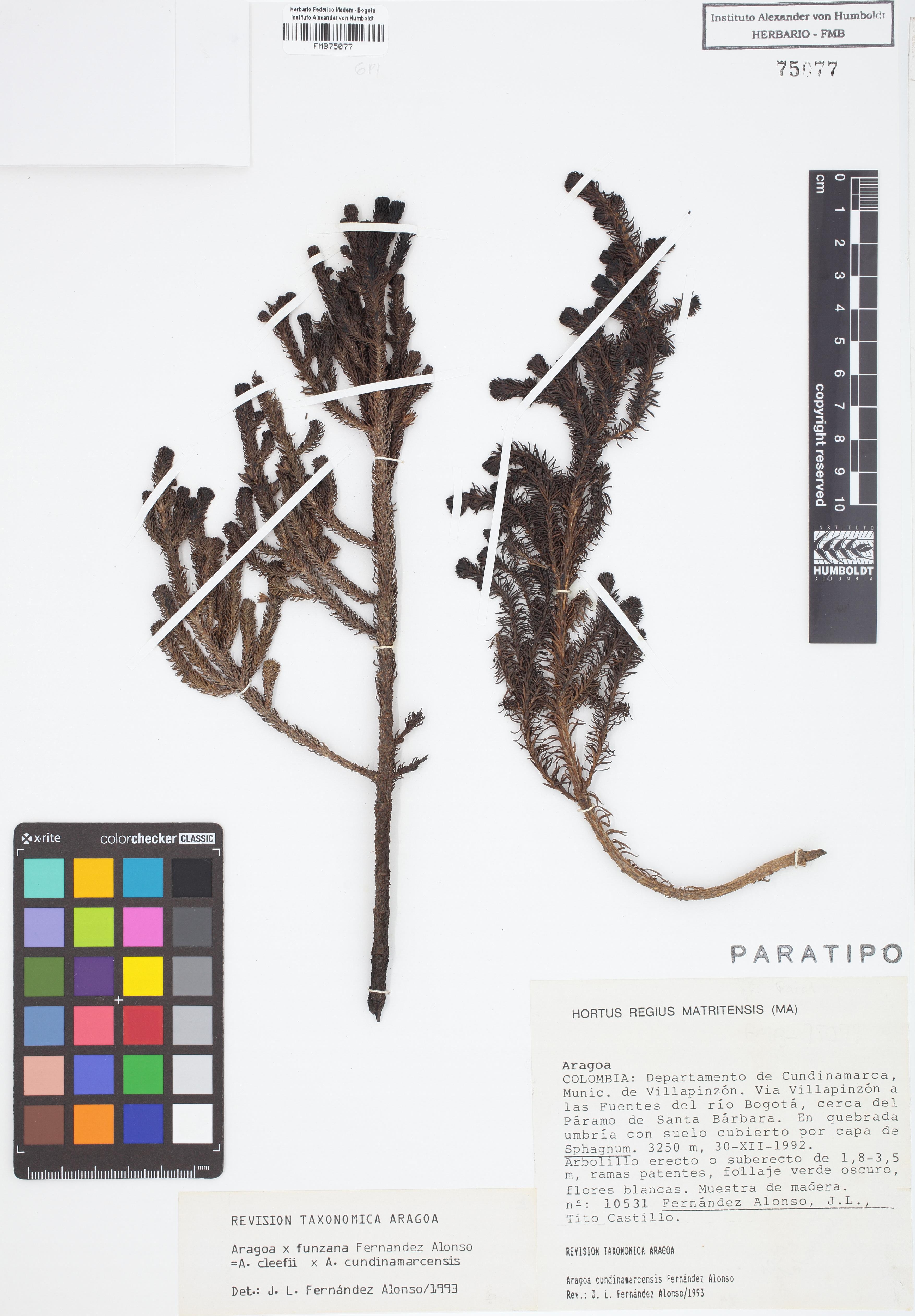 Paratipo de <em>Aragoa</em> x <em>funzana</em>, FMB-75077, Fotografía por Robles A.