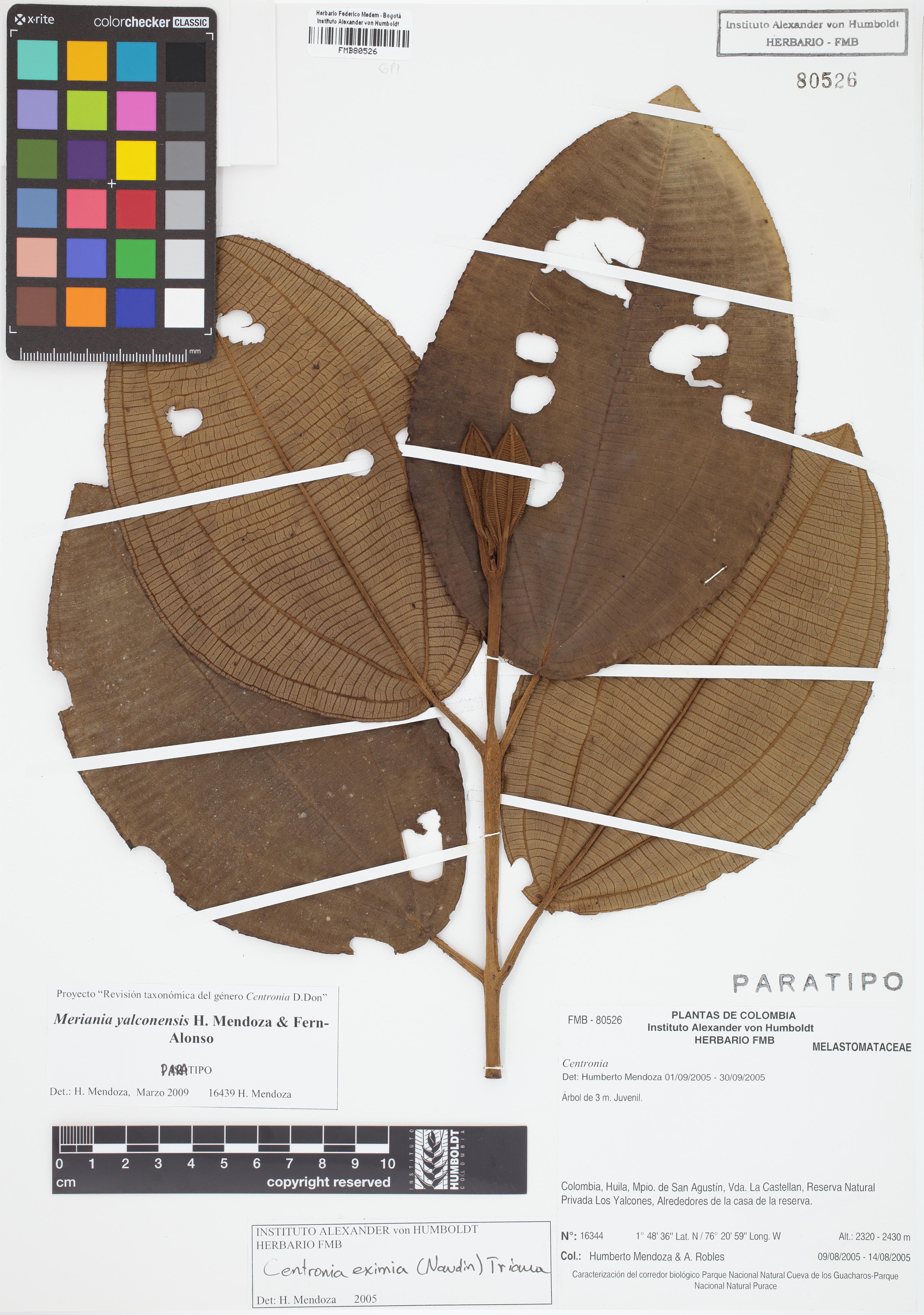 Paratipo de <em>Meriania yalconensis</em>, FMB-80526, Fotografía por Robles A.