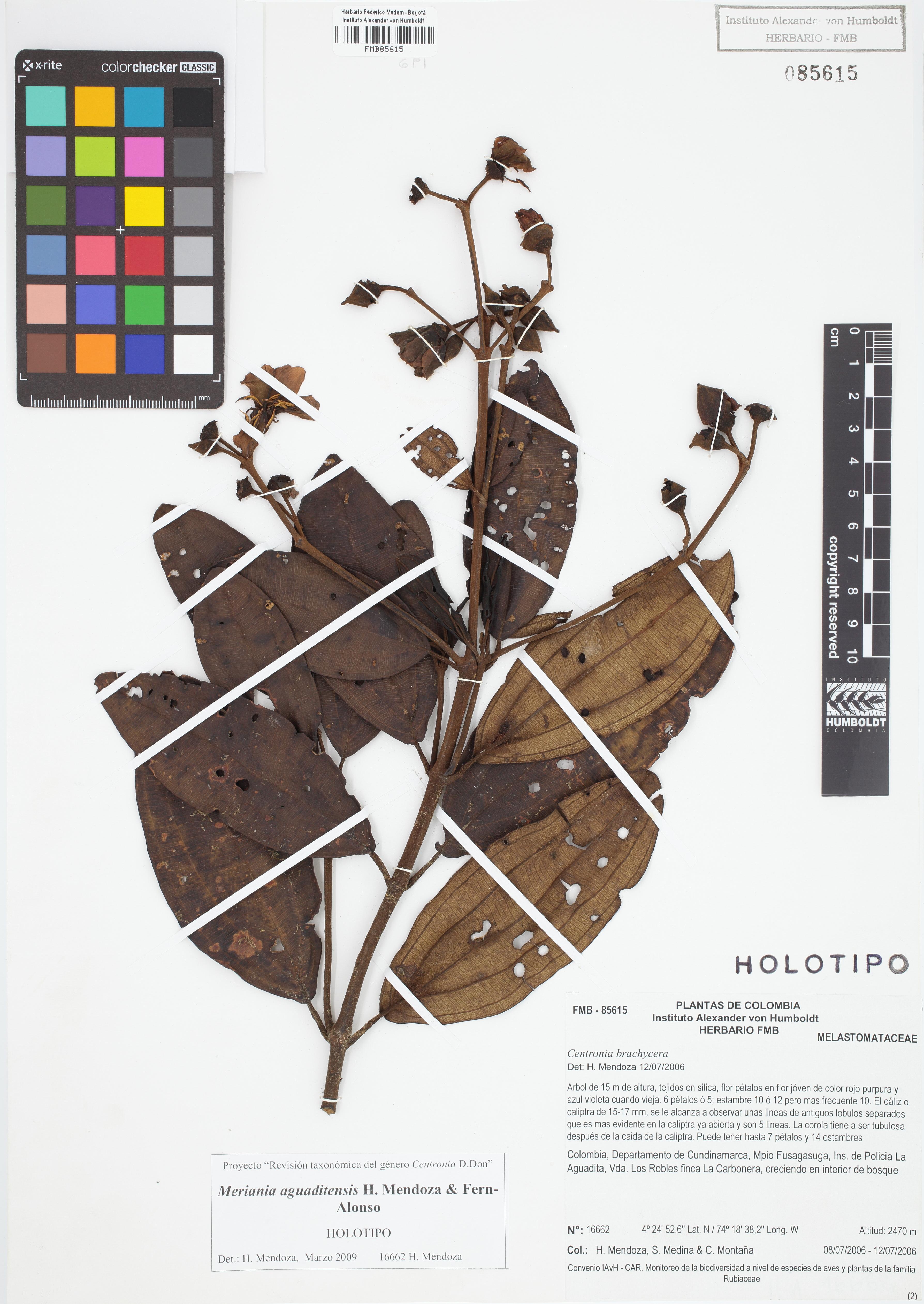 Holotipo de <em>Meriania aguaditensis</em>, FMB-85615, Fotografía por Robles A.