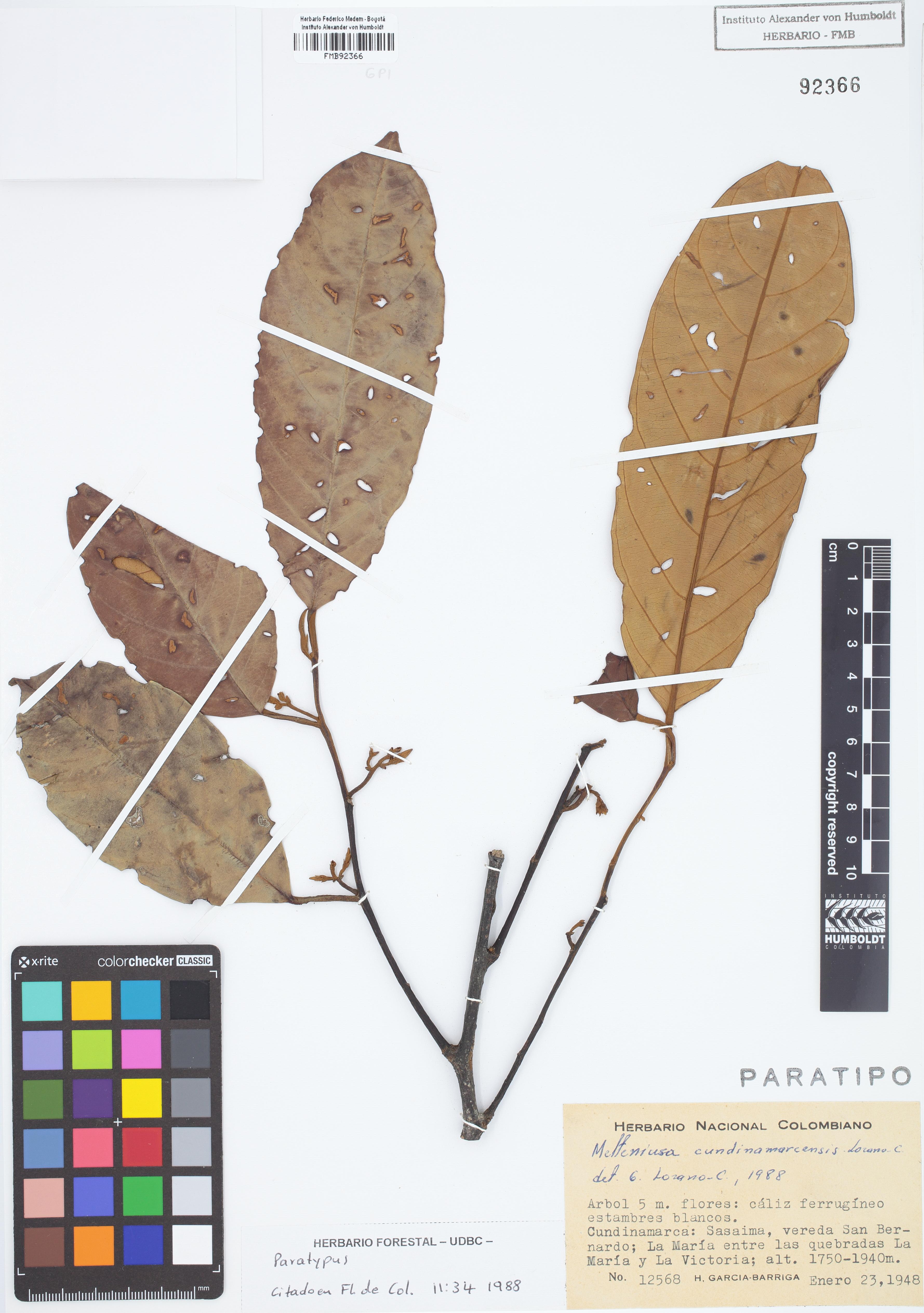 Paratipo de <em>Metteniusa cundinamarcensis</em>, FMB-92366, Fotografía por Robles A.