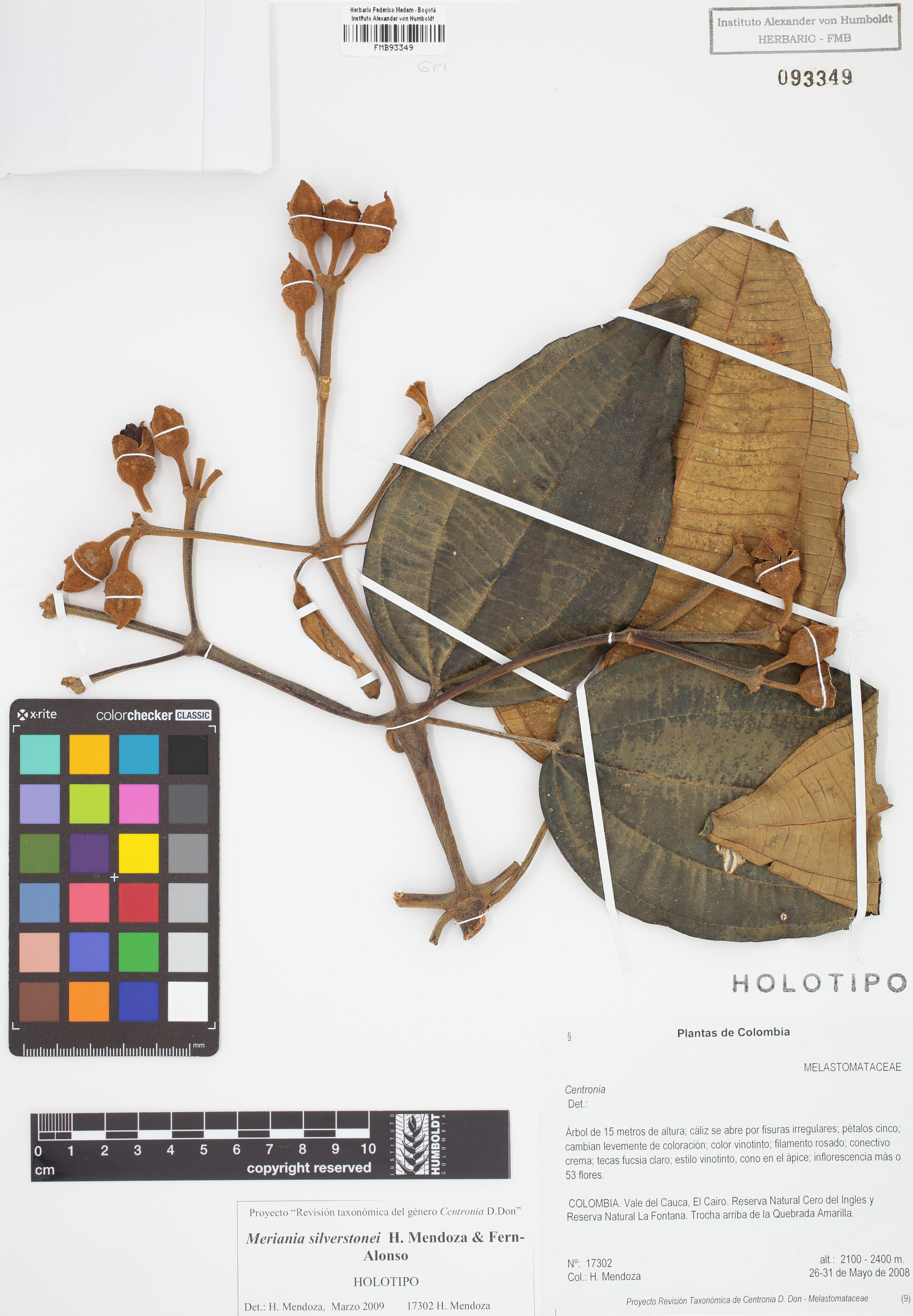 Holotipo de <em>Meriania silverstonei</em>, FMB-93349, Fotografía por Robles A.