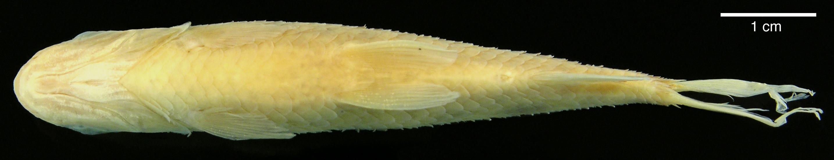 Paratype of <em>Leporinus boehlkei</em>, IAvH-P-10562_Ventral, 70.2 mm SL (scale bar = 1 cm). Photograph by M. H. Sabaj Pérez