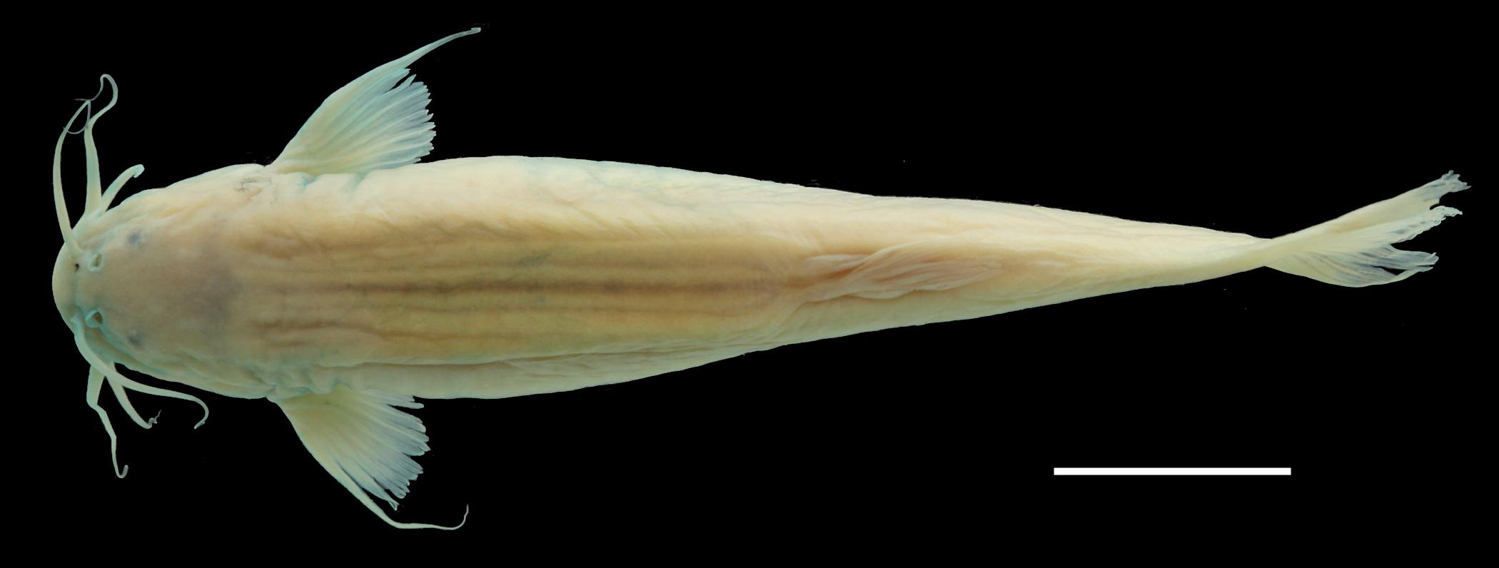 Paratípo de <em>Trichomycterus uisae</em>, IAvH-P-10806_Dorsal, 50.1 mm SL (scale bar = 1 cm). Photograph by C. DoNascimiento