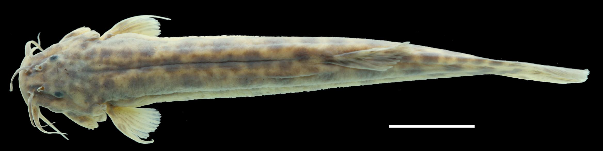 Paratype of <em>Trichomycterus ocanaensis</em>, IAvH-P-11115_Dorsal, 57.2 mm SL (scale bar = 1 cm). Photograph by C. DoNascimiento