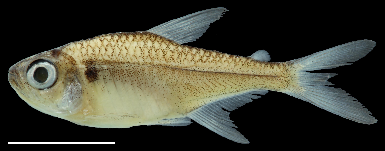 Paratype of <em>Hyphessobrycon taguae</em>, IAvH-P-11240_Lateral, 26.3 mm SL (scale bar = 1 cm). Photograph by C. DoNascimiento