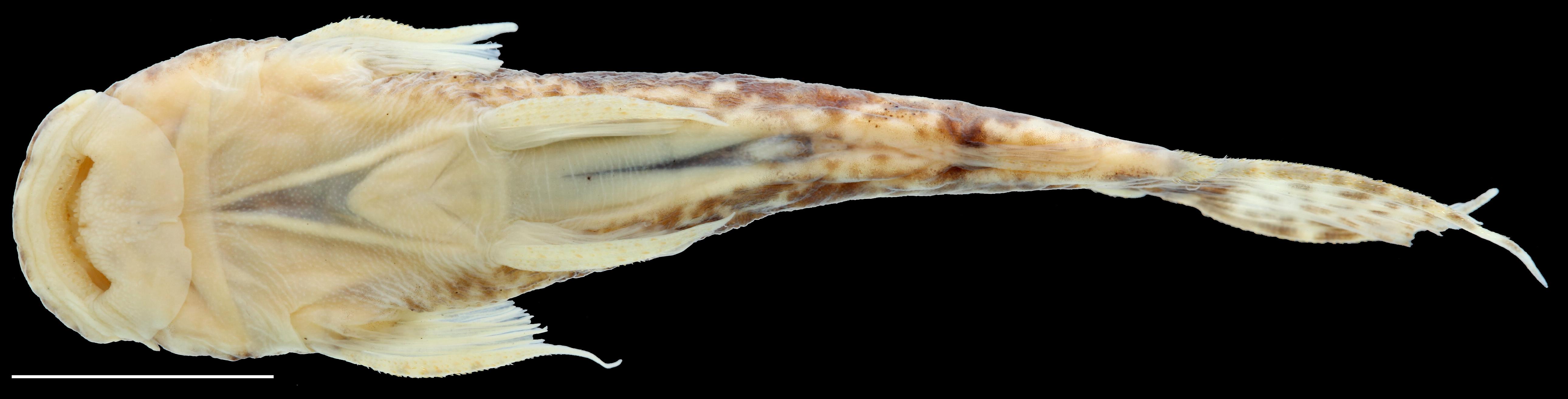 Paratype of <em>Astroblepus putumayoensis</em>, IAvH-P-12708_Ventral, 43.6 mm SL (scale bar = 1 cm). Photograph by C. DoNascimiento