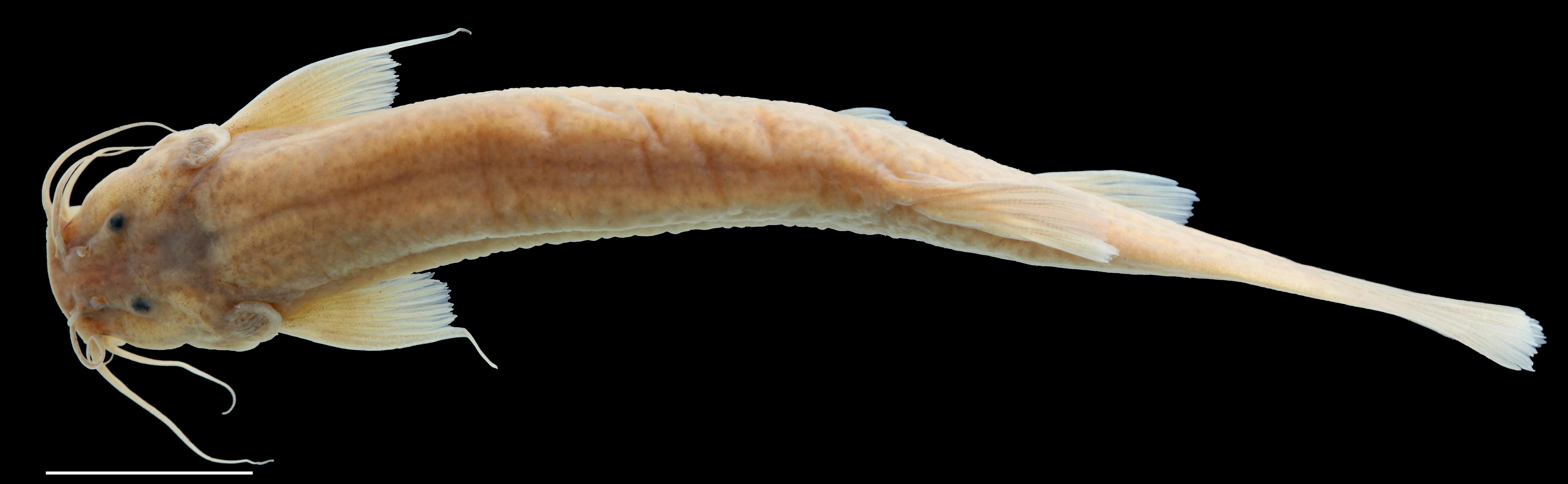 Paratype of <em>Trichomycterus tetuanensis</em>, IAvH-P-12753_Dorsal, 67.6 mm SL (scale bar = 1 cm). Photograph by C. DoNascimiento.