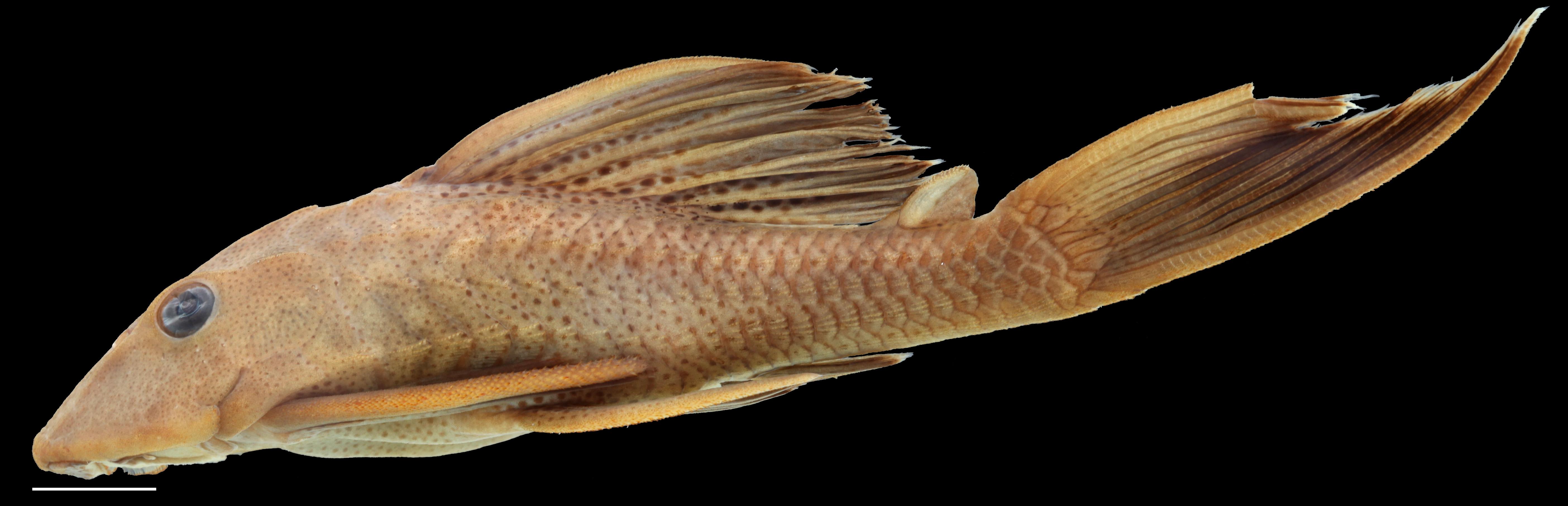 Paratípo de <em>Hypostomus rhantos</em> IAvH-P-13958_Lateral, 87.7 mm SL (scale bar = 1 cm). Photograph by C. DoNascimiento