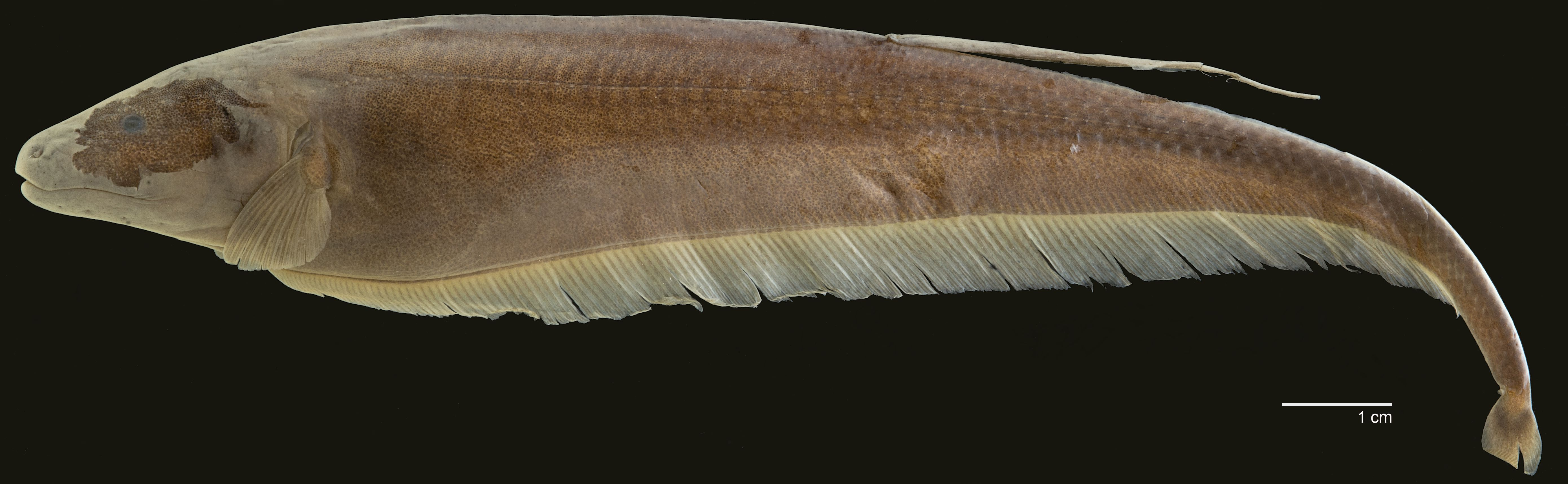 Holotype of <em>Apteronotus milesi</em>, IAvH-P-3996_Lateral, 160.4 mm TL (scale bar = 1 cm). Photograph by S. J. Raredon